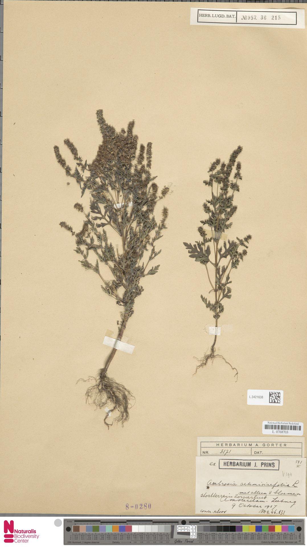 L.3421638   Ambrosia artemisiifolia L.