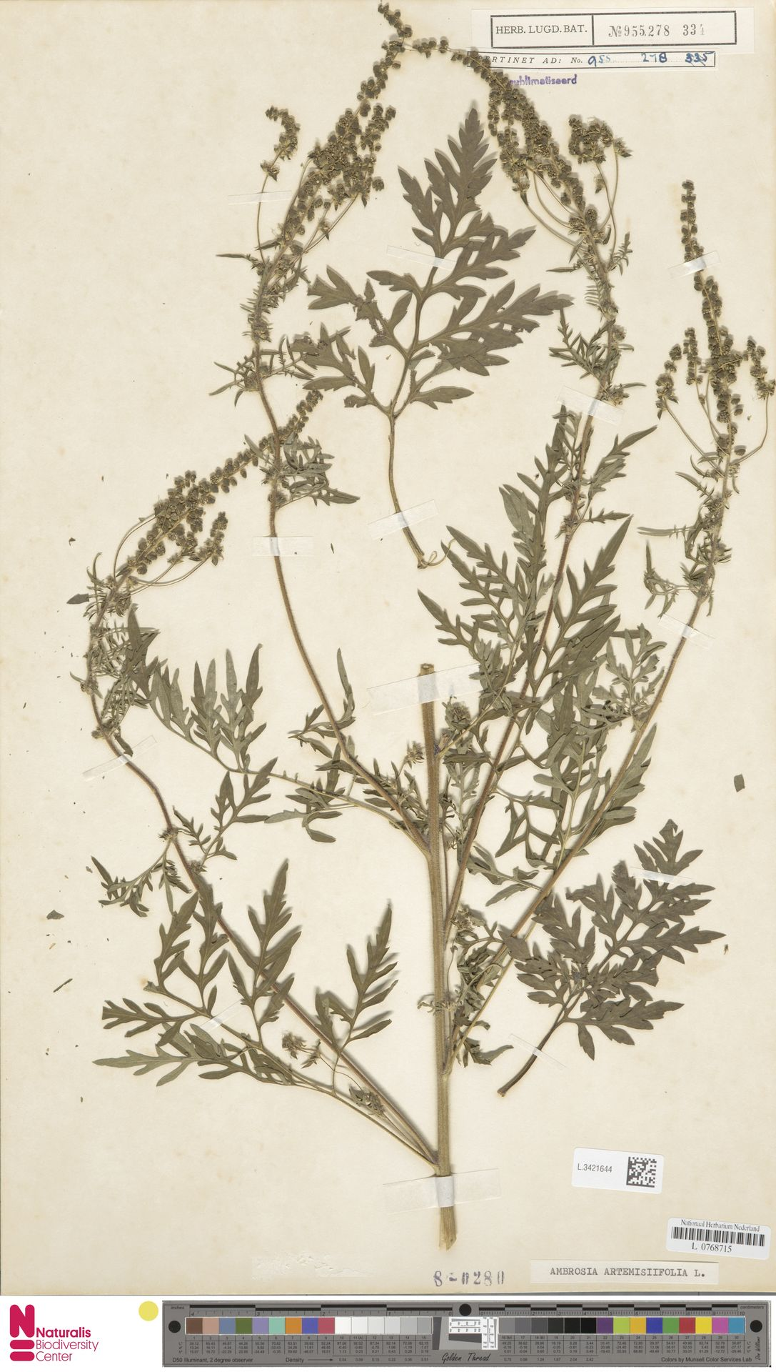 L.3421644 | Ambrosia artemisiifolia L.