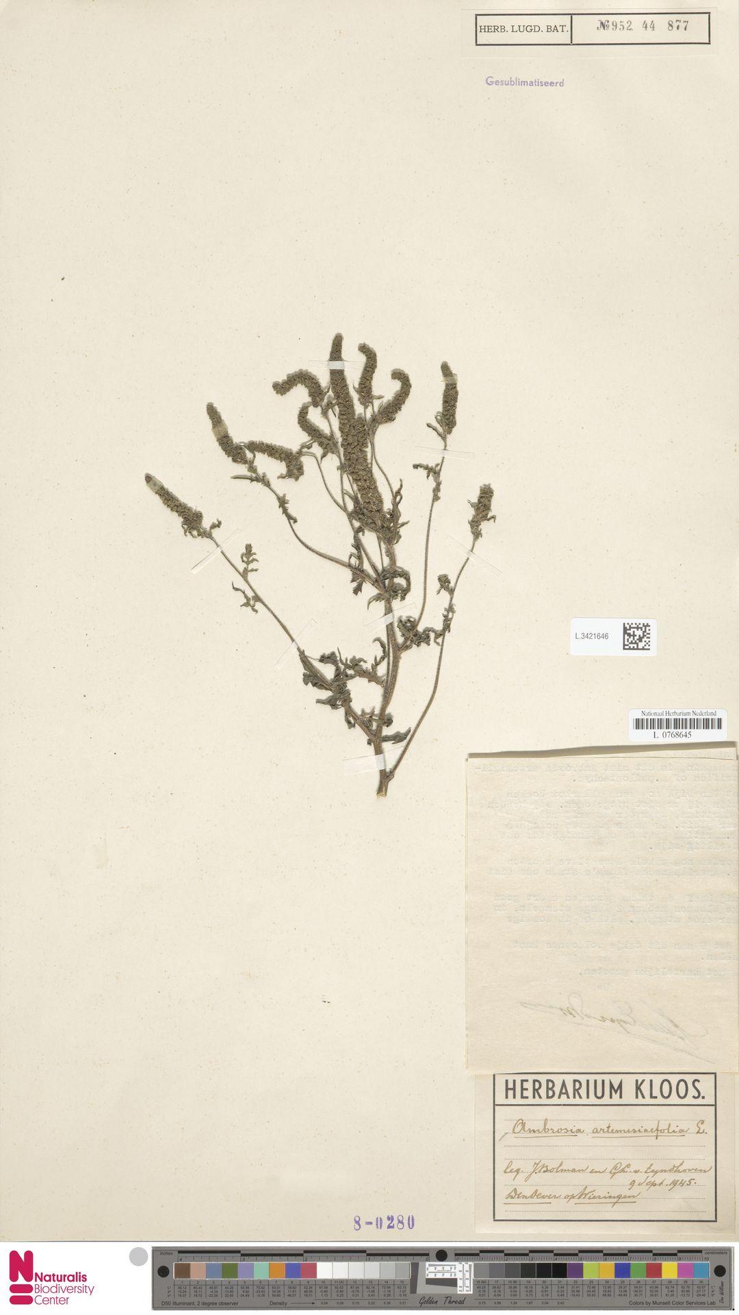 L.3421646 | Ambrosia artemisiifolia L.