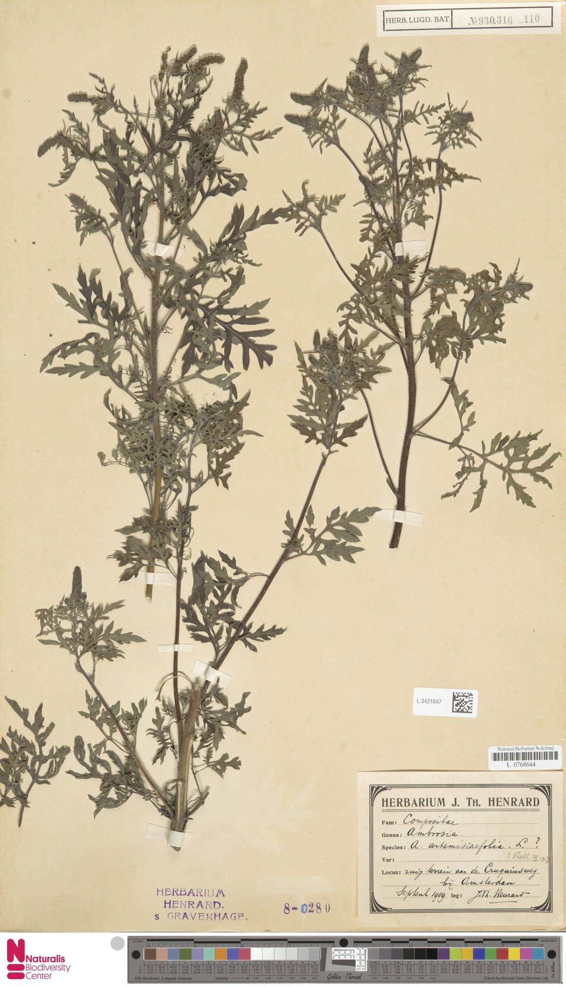 L.3421647 | Ambrosia artemisiifolia L.