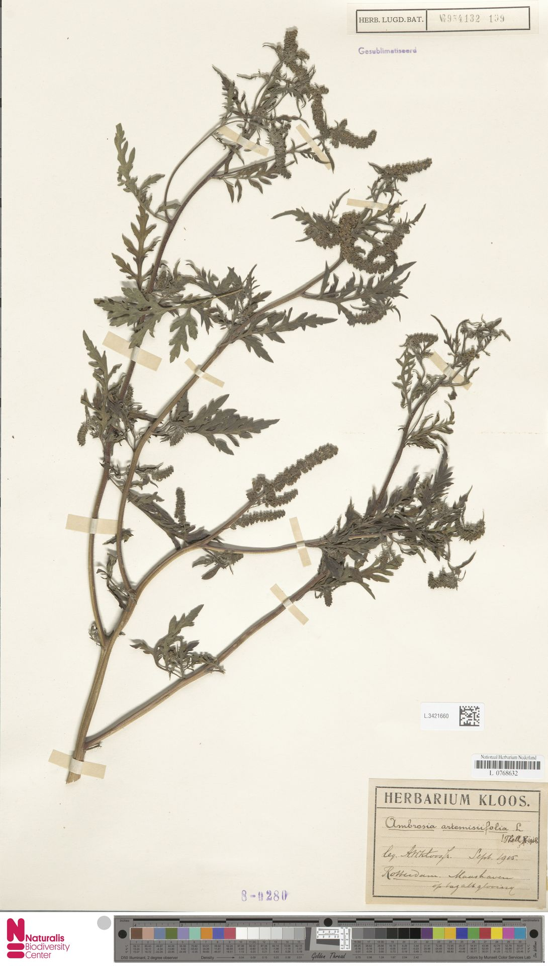 L.3421660 | Ambrosia artemisiifolia L.