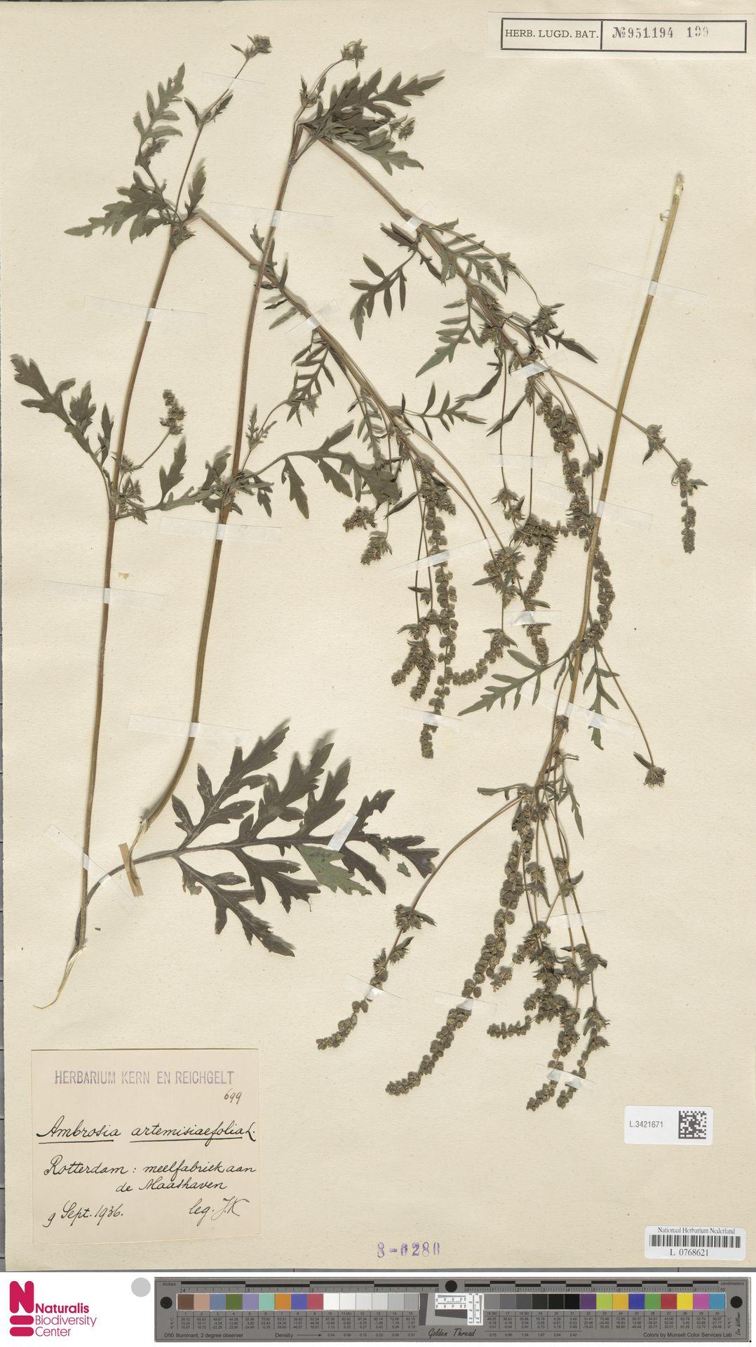 L.3421671   Ambrosia artemisiifolia L.