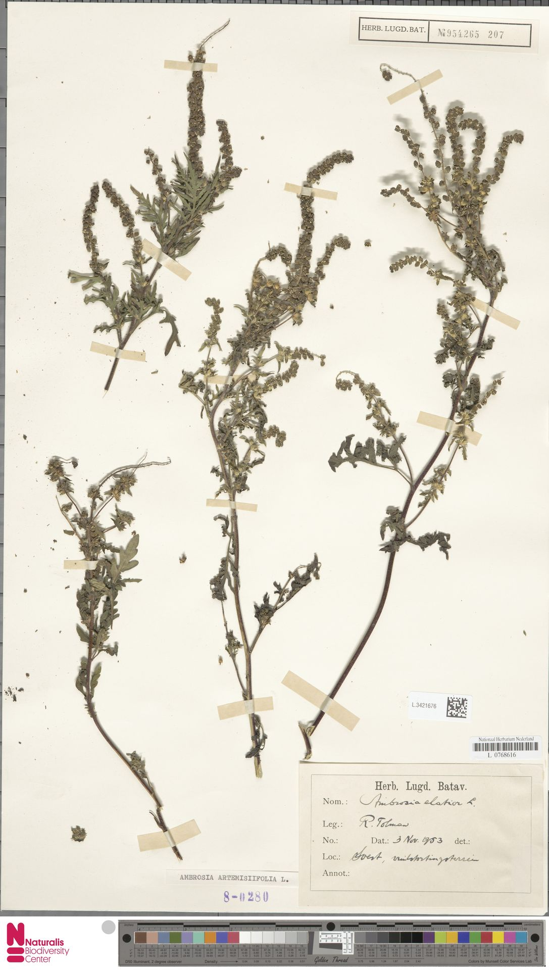 L.3421676   Ambrosia artemisiifolia L.
