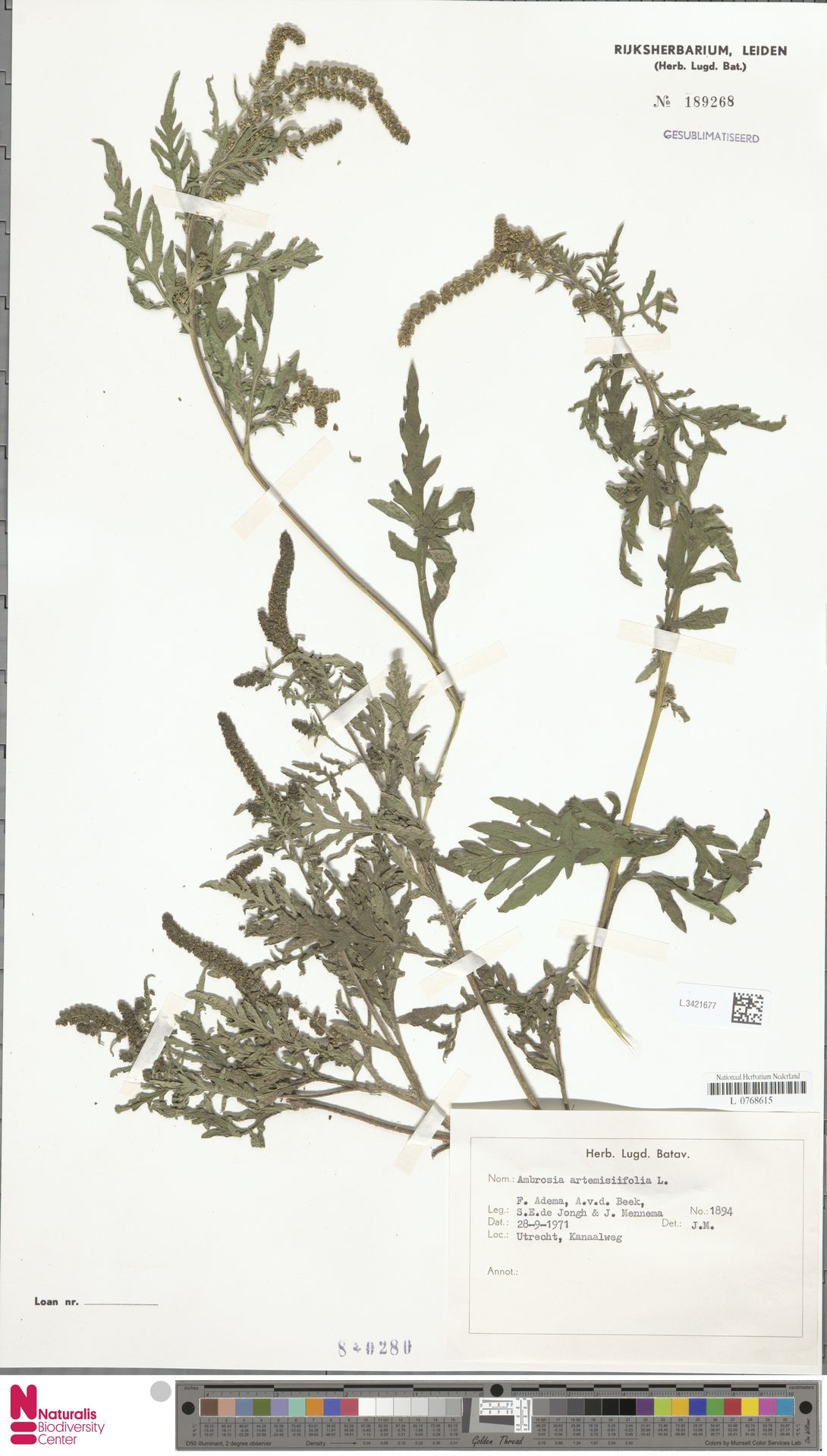 L.3421677 | Ambrosia artemisiifolia L.