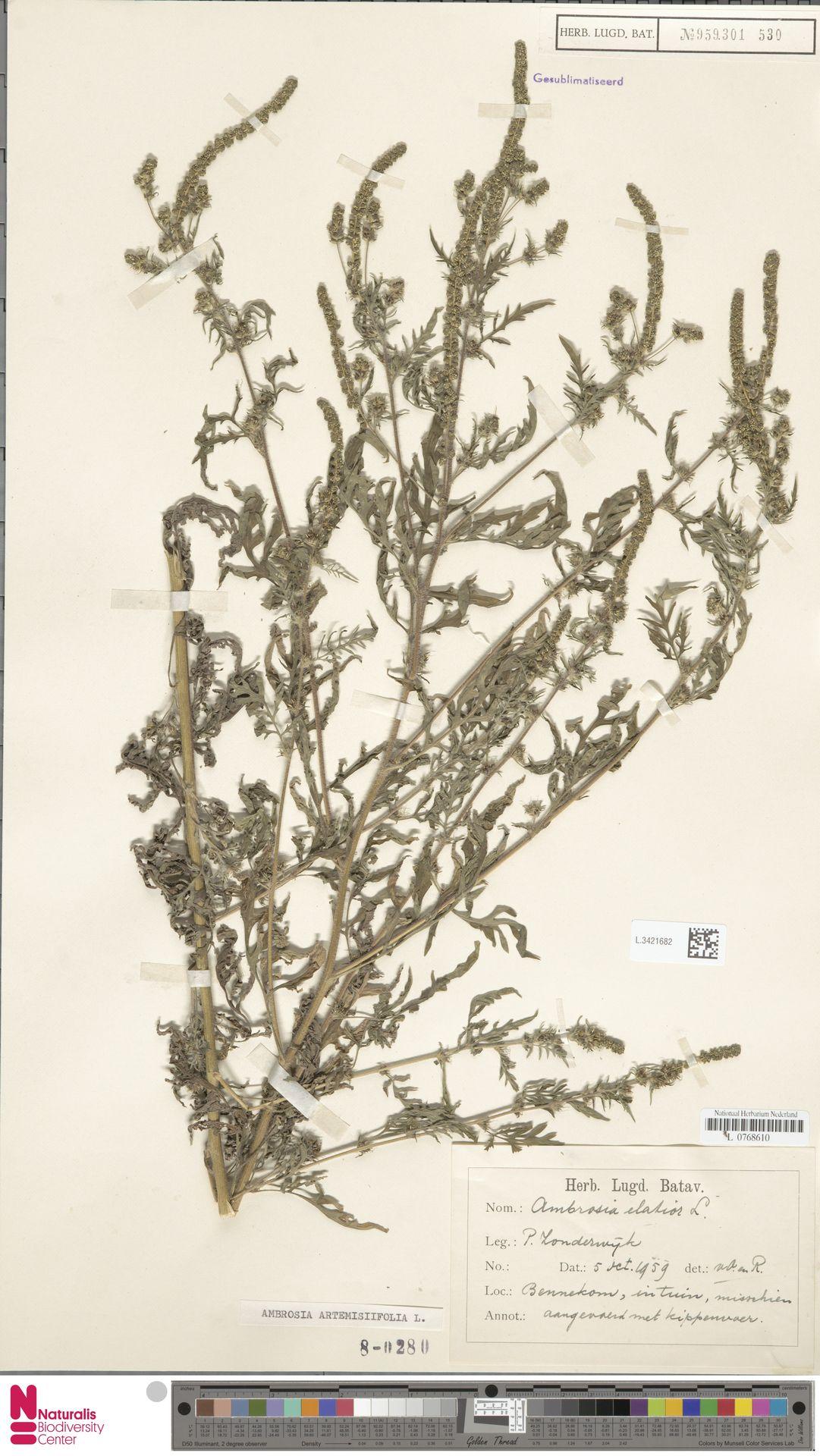 L.3421682 | Ambrosia artemisiifolia L.