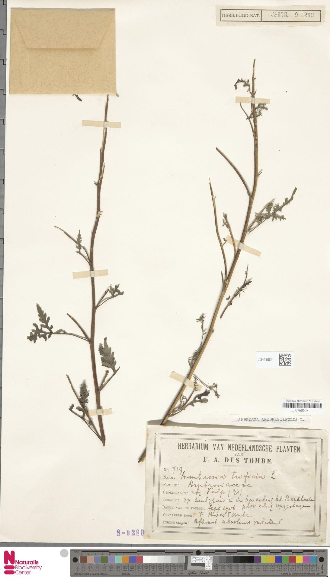 L.3421684 | Ambrosia artemisiifolia L.