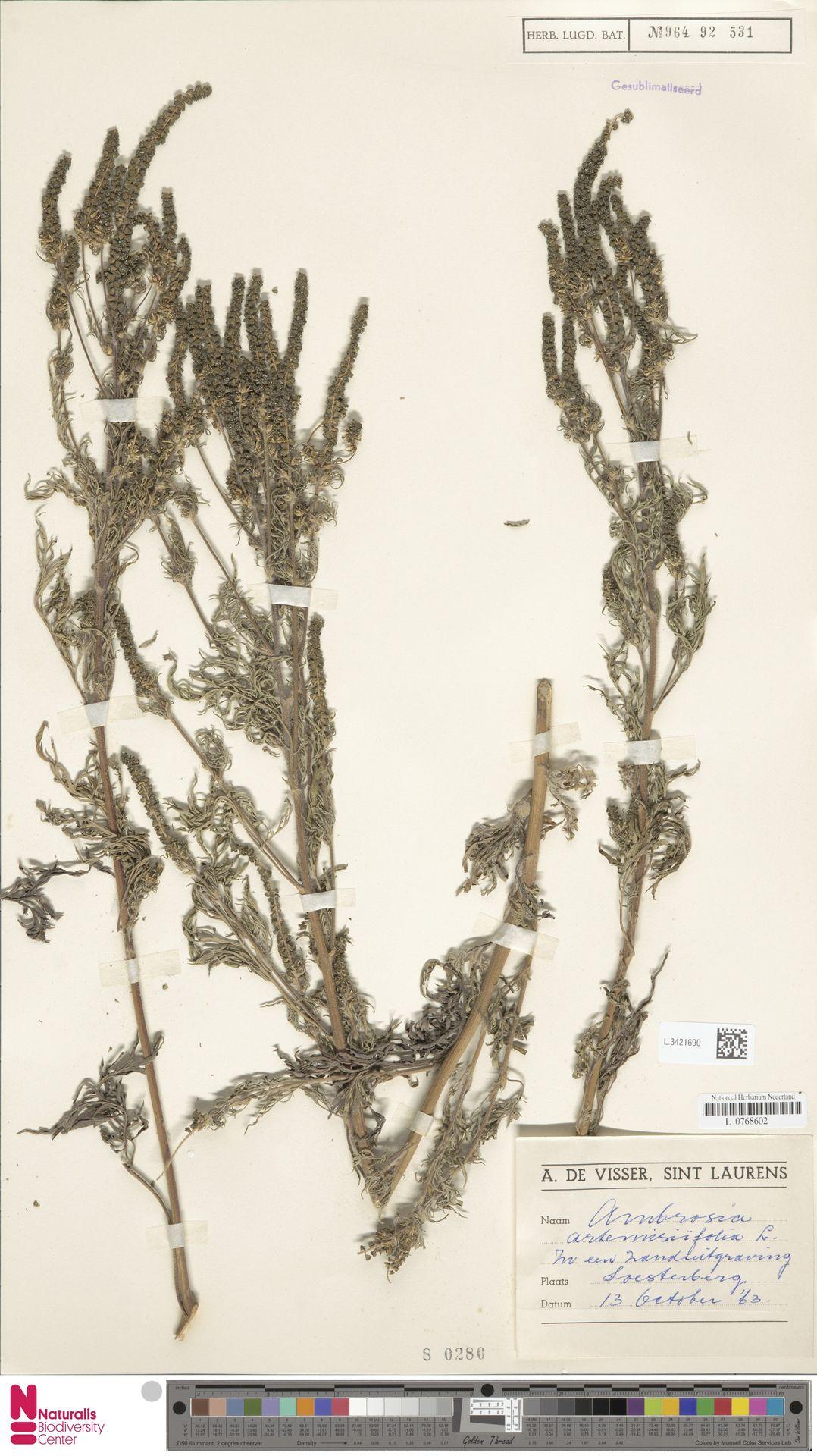 L.3421690 | Ambrosia artemisiifolia L.