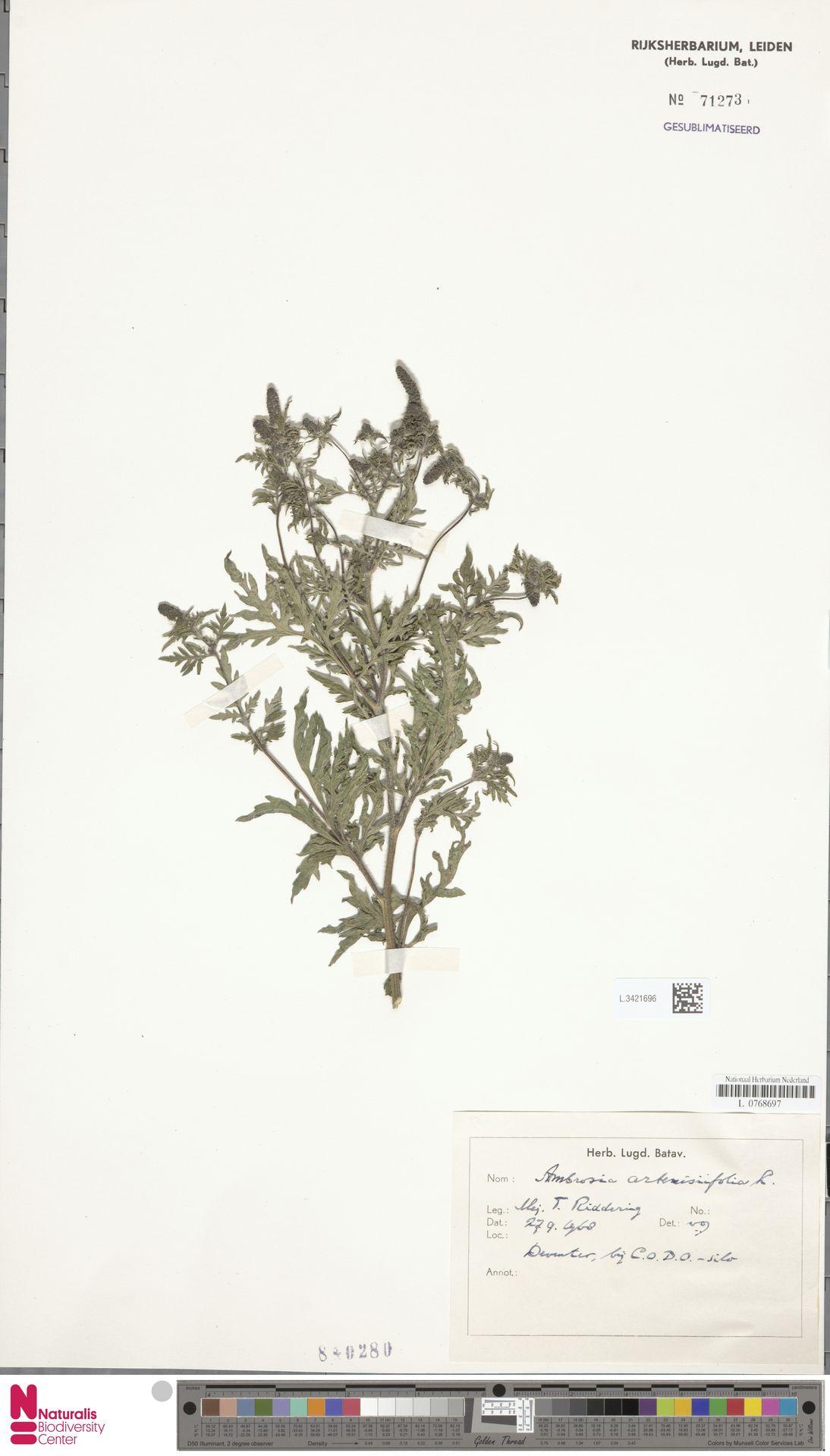 L.3421696 | Ambrosia artemisiifolia L.