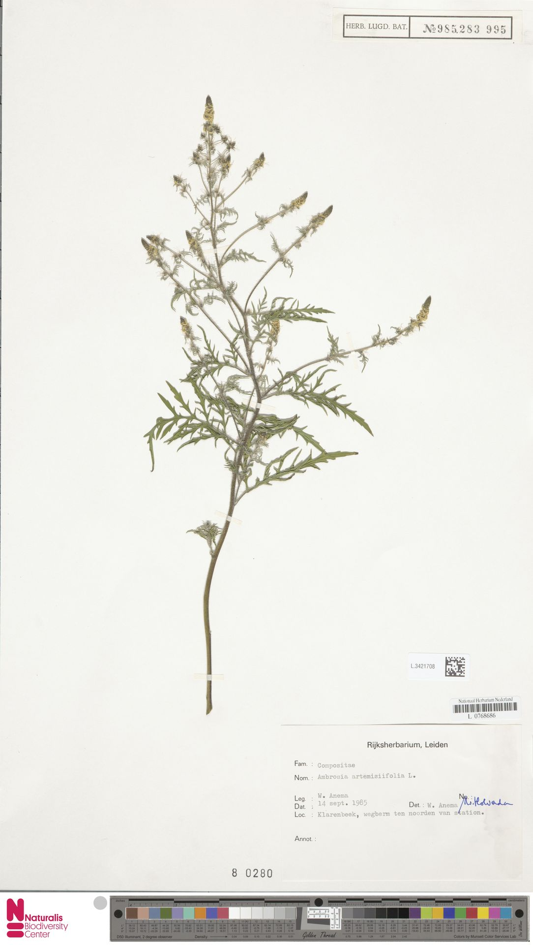 L.3421708   Ambrosia artemisiifolia L.