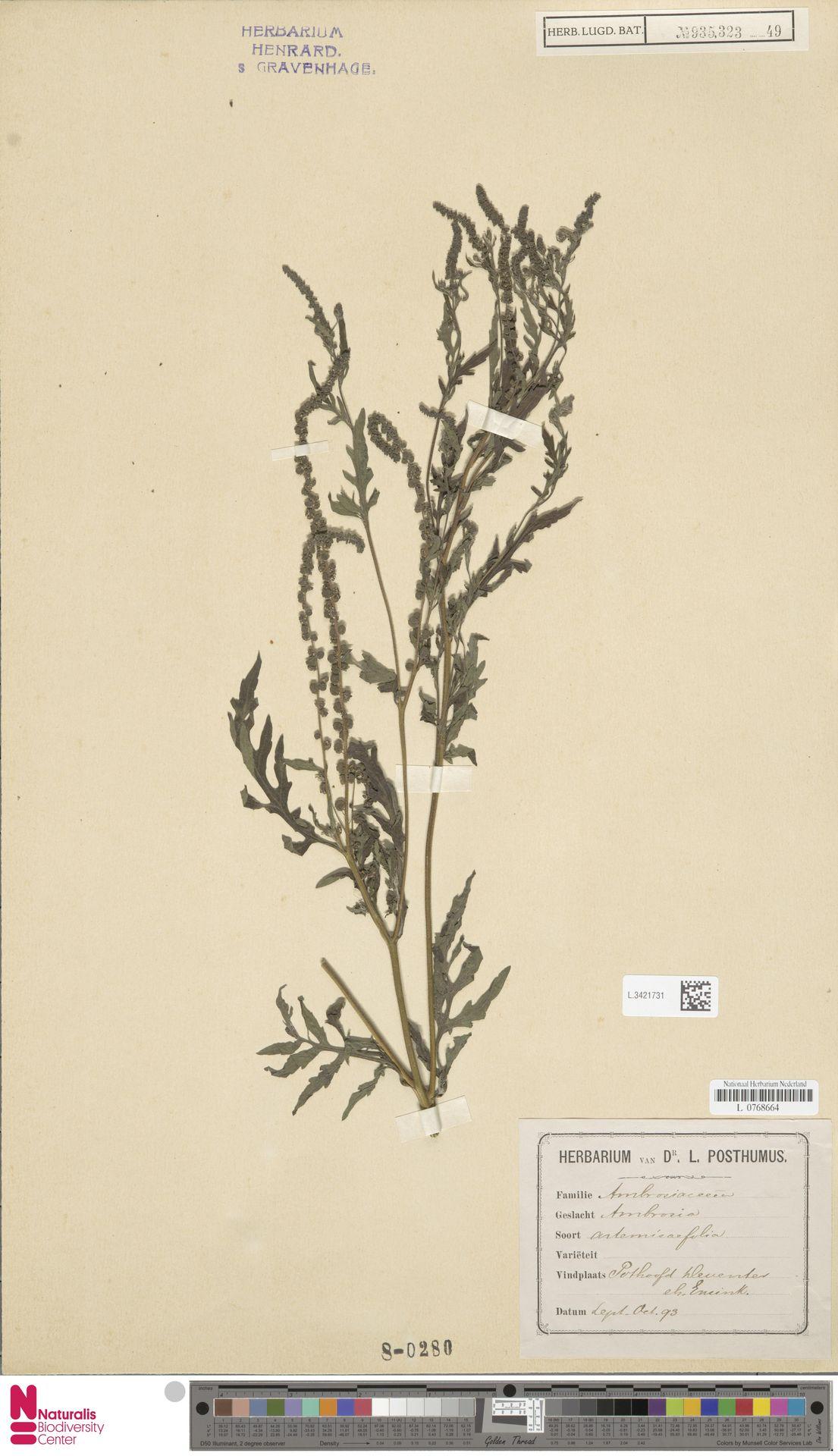 L.3421731   Ambrosia artemisiifolia L.