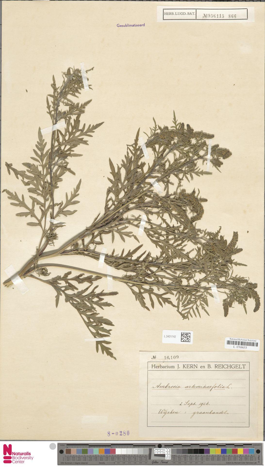 L.3421742 | Ambrosia artemisiifolia L.