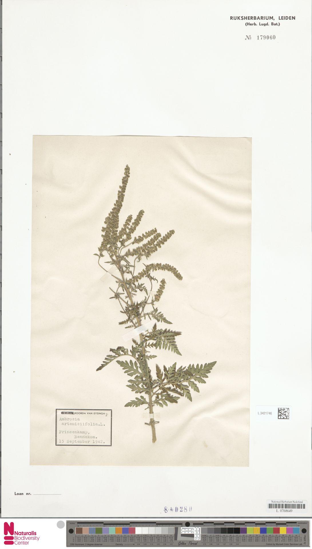 L.3421746 | Ambrosia artemisiifolia L.