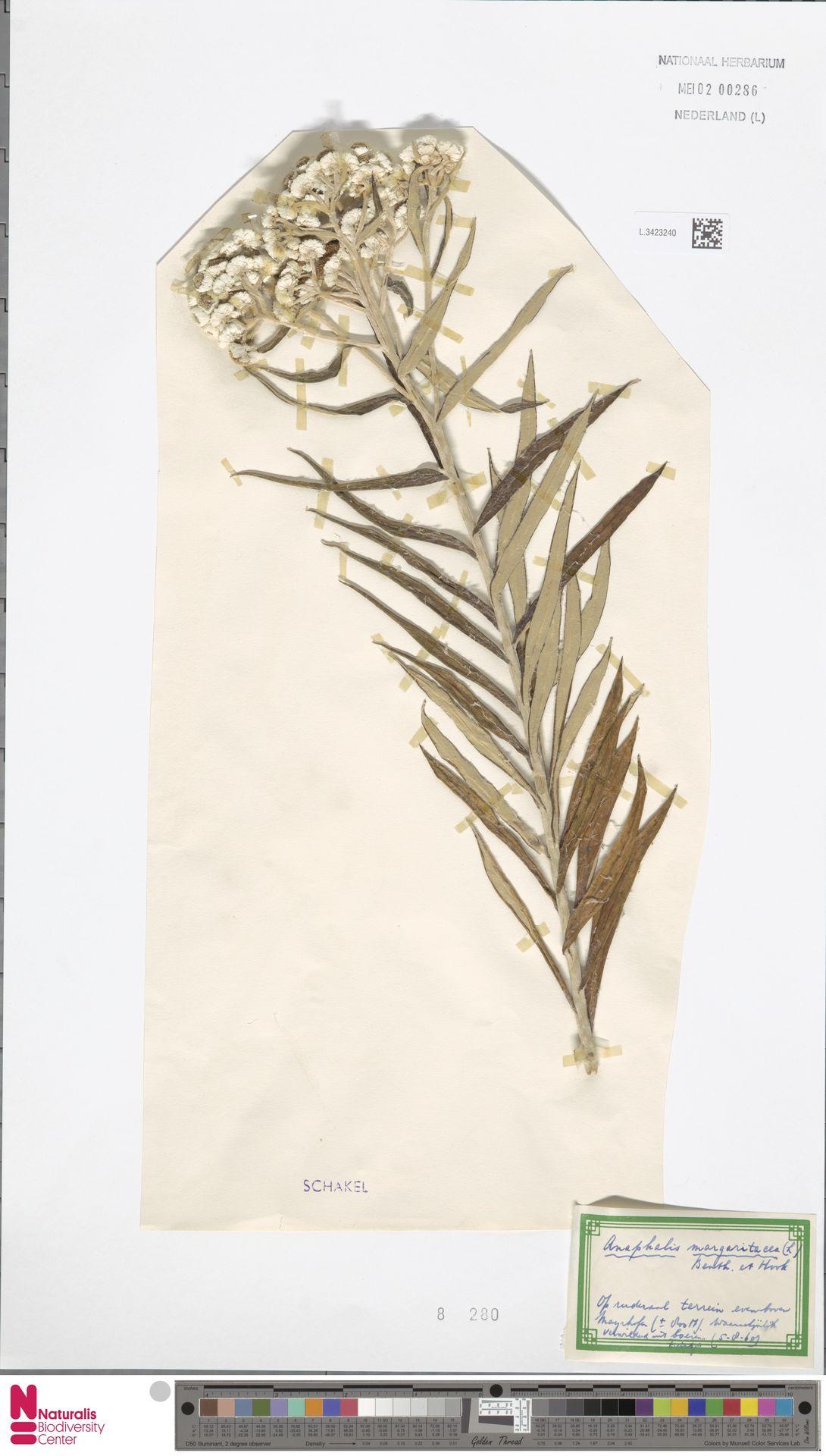 L.3423240 | Anaphalis margaritacea (L.) Benth. & Hook.f.