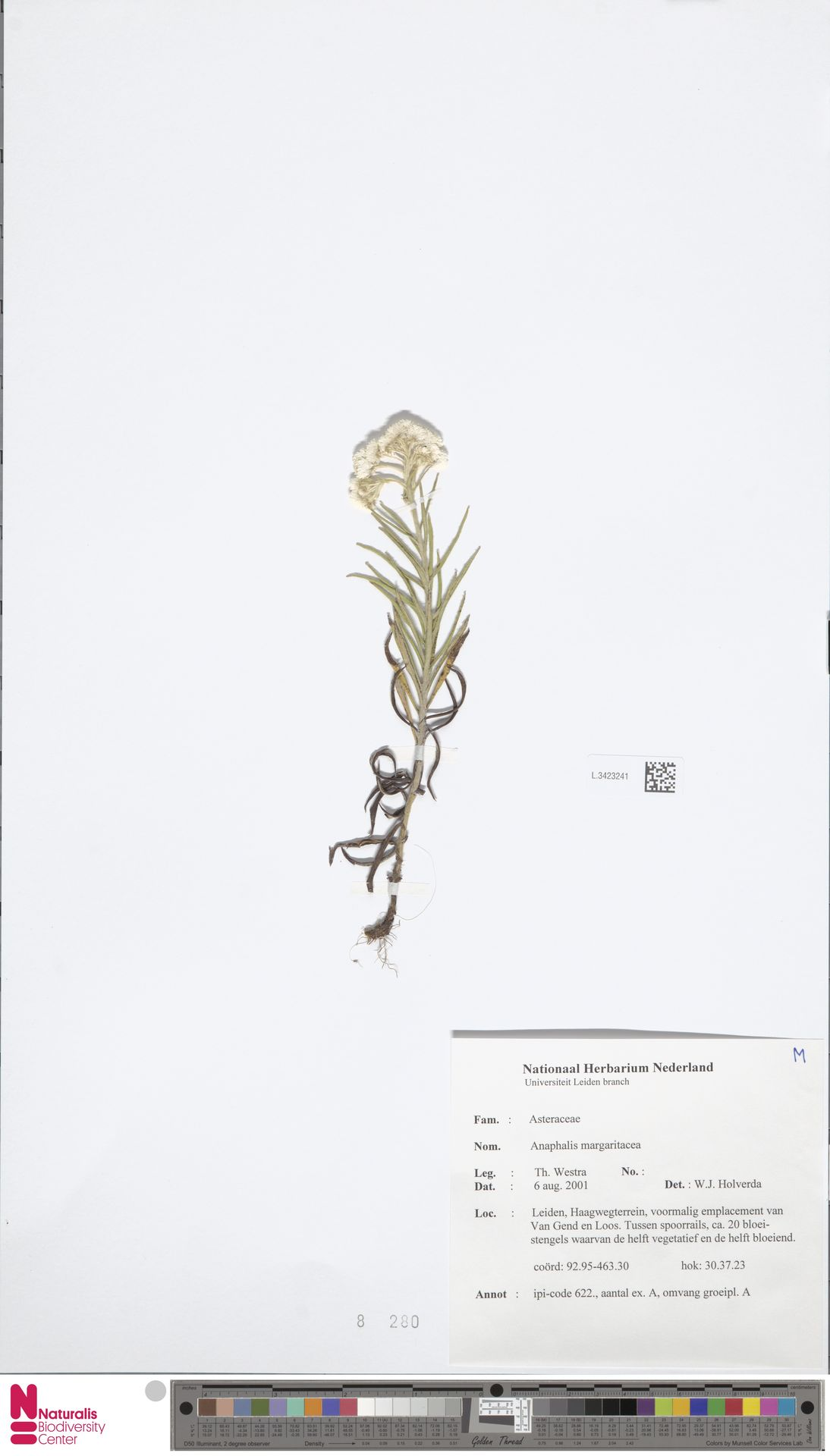 L.3423241 | Anaphalis margaritacea (L.) Benth. & Hook.f.