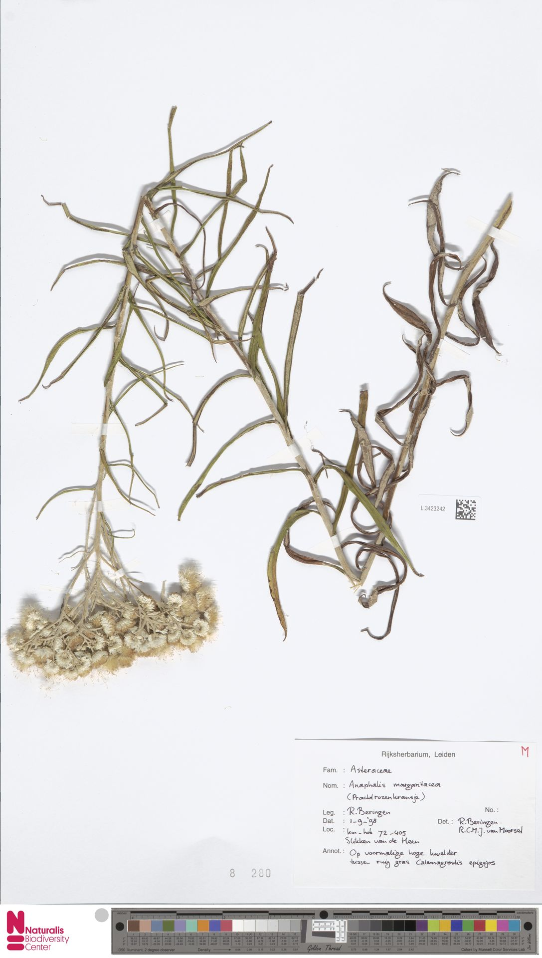 L.3423242 | Anaphalis margaritacea (L.) Benth. & Hook.f.