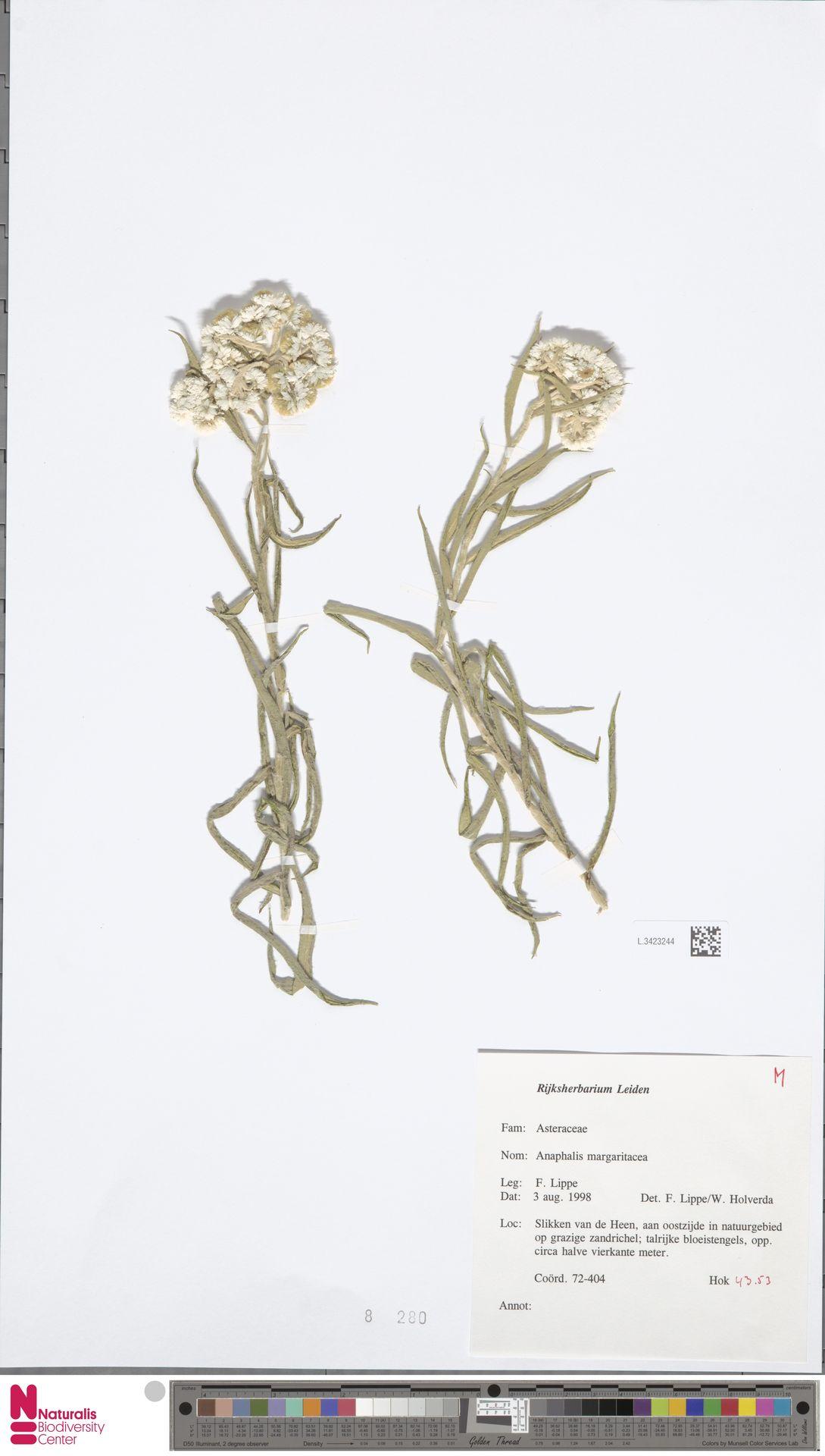 L.3423244 | Anaphalis margaritacea (L.) Benth. & Hook.f.
