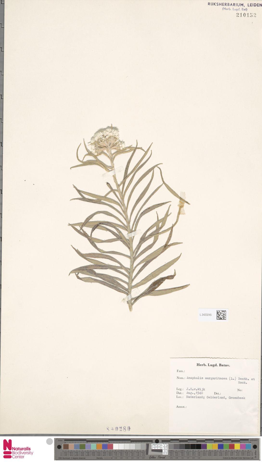 L.3423245 | Anaphalis margaritacea (L.) Benth. & Hook.f.