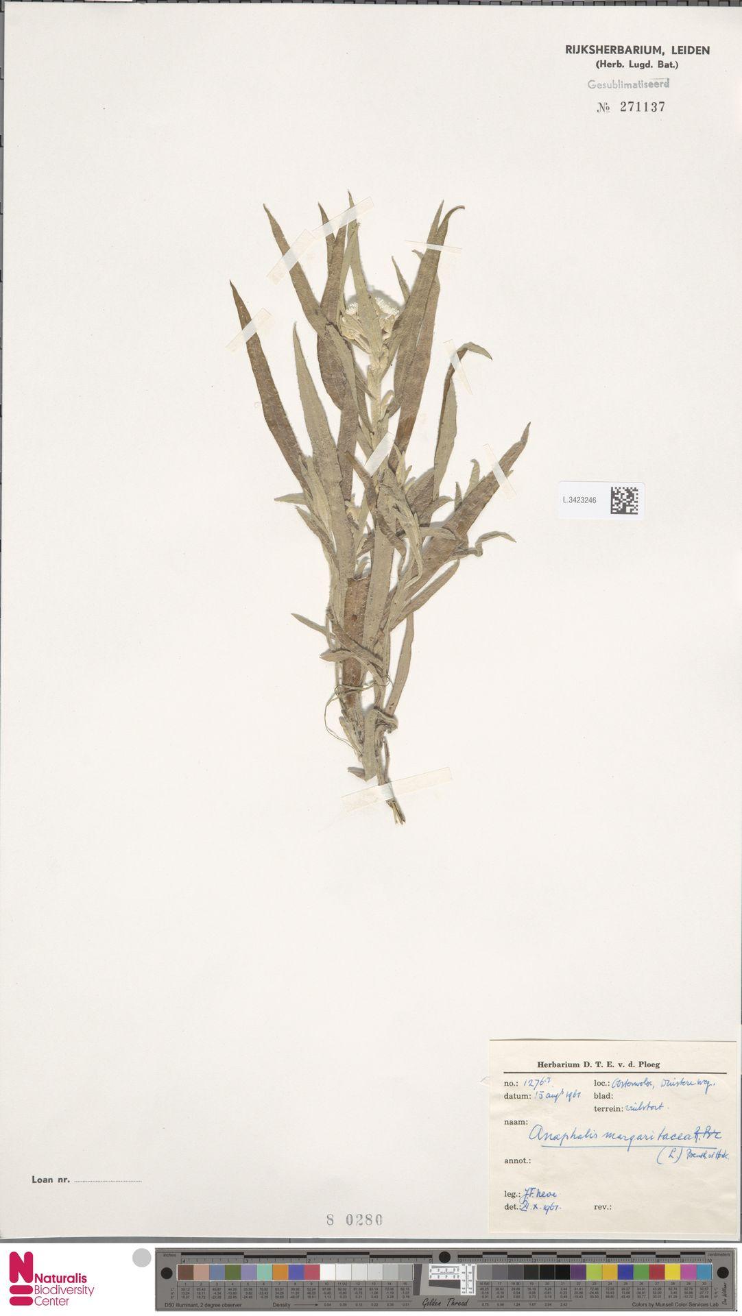 L.3423246 | Anaphalis margaritacea (L.) Benth. & Hook.f.