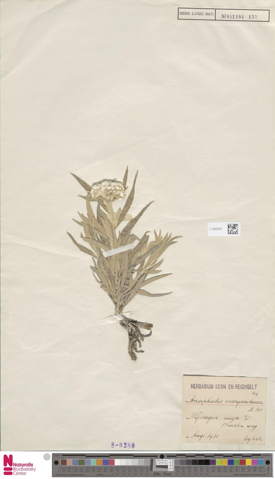 L.3423247 | Anaphalis margaritacea (L.) Benth. & Hook.f.