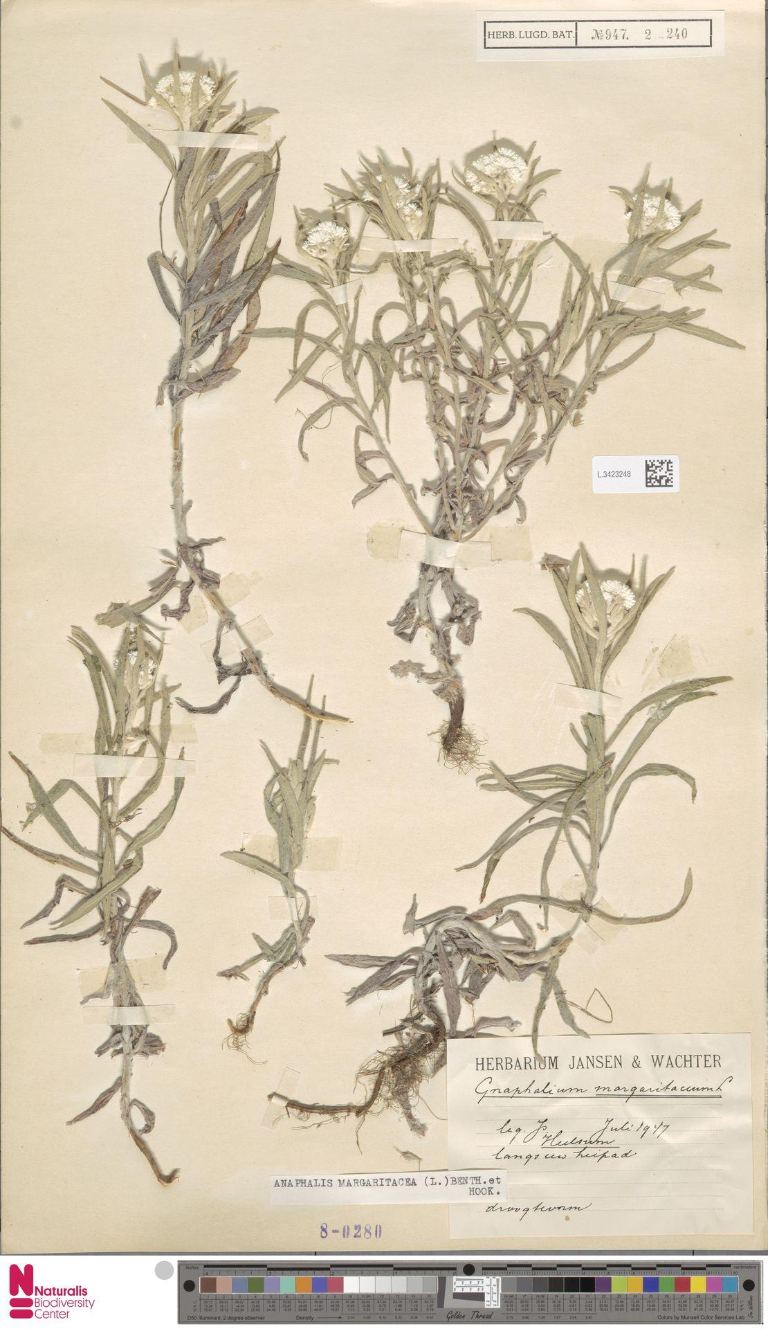 L.3423248   Anaphalis margaritacea (L.) Benth. & Hook.f.