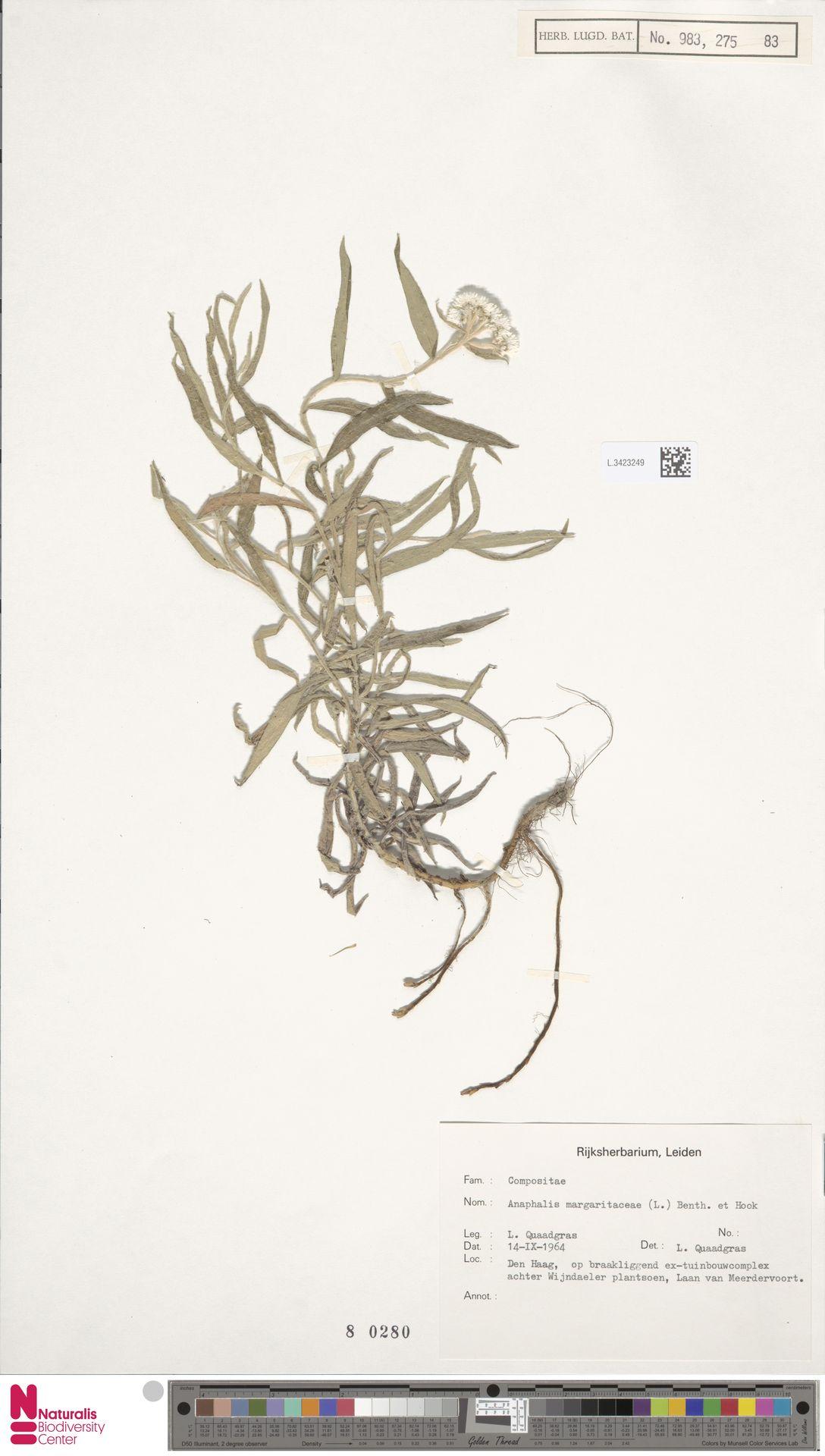 L.3423249 | Anaphalis margaritacea (L.) Benth. & Hook.f.