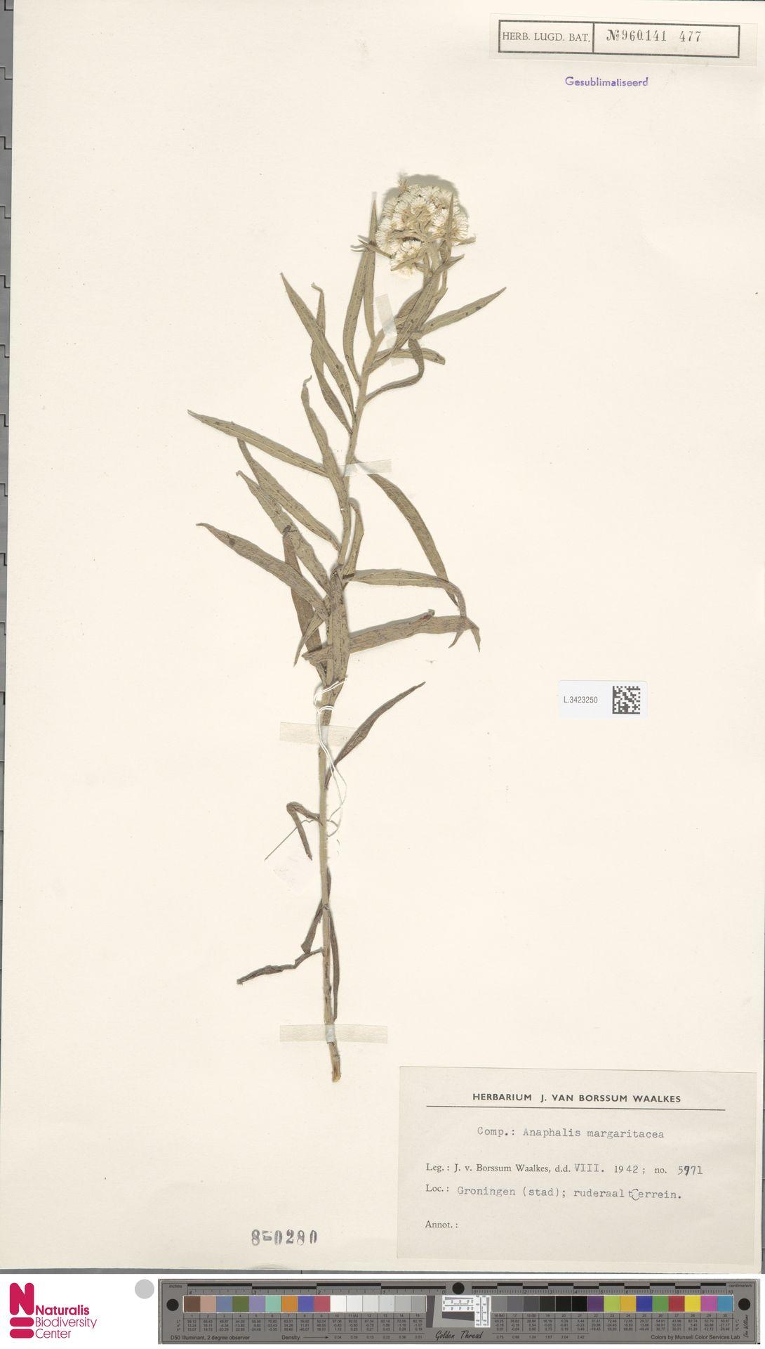 L.3423250 | Anaphalis margaritacea (L.) Benth. & Hook.f.