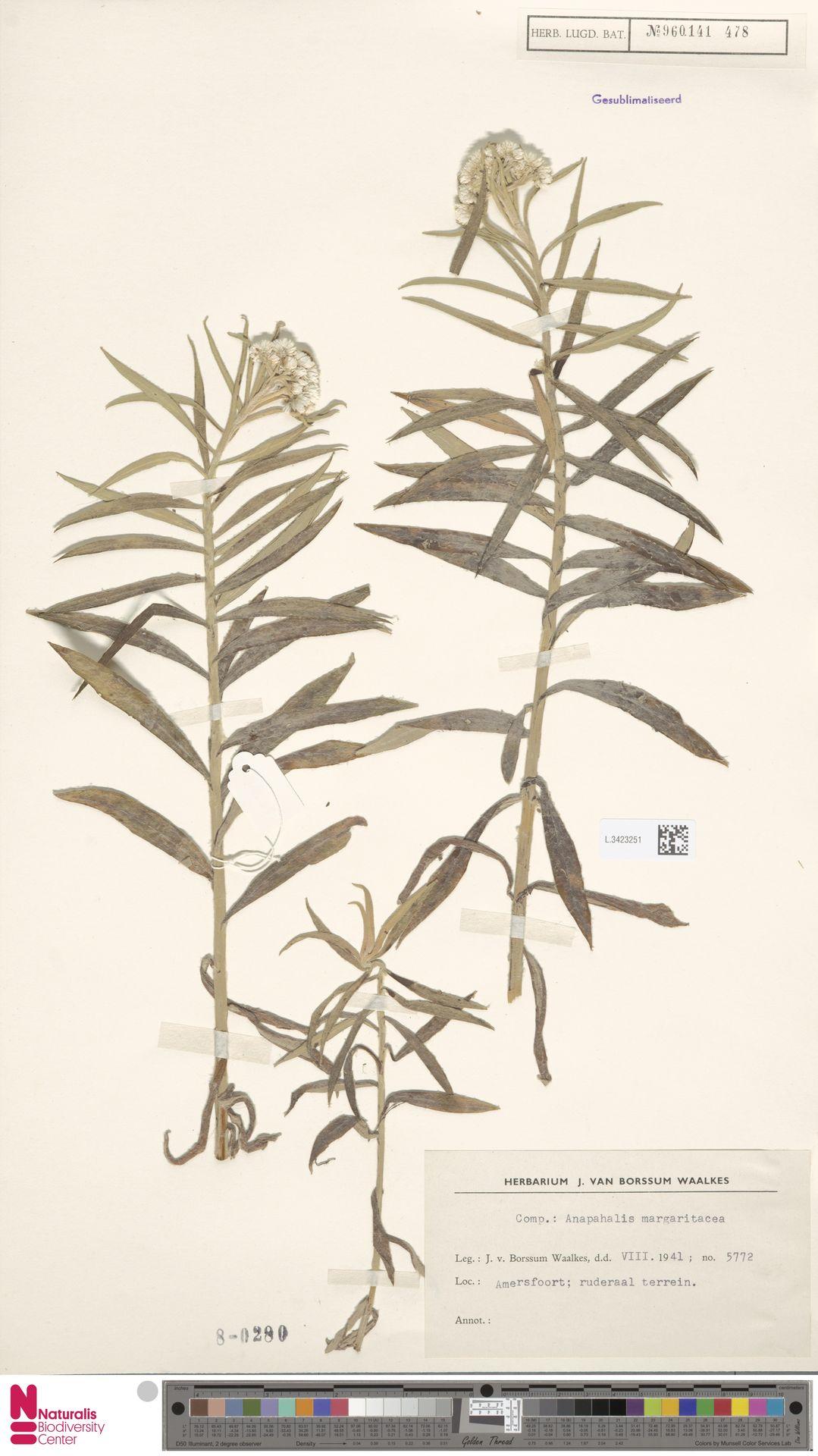 L.3423251   Anaphalis margaritacea (L.) Benth. & Hook.f.