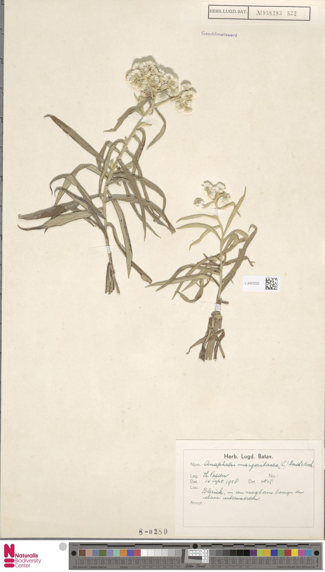 L.3423252 | Anaphalis margaritacea (L.) Benth. & Hook.f.