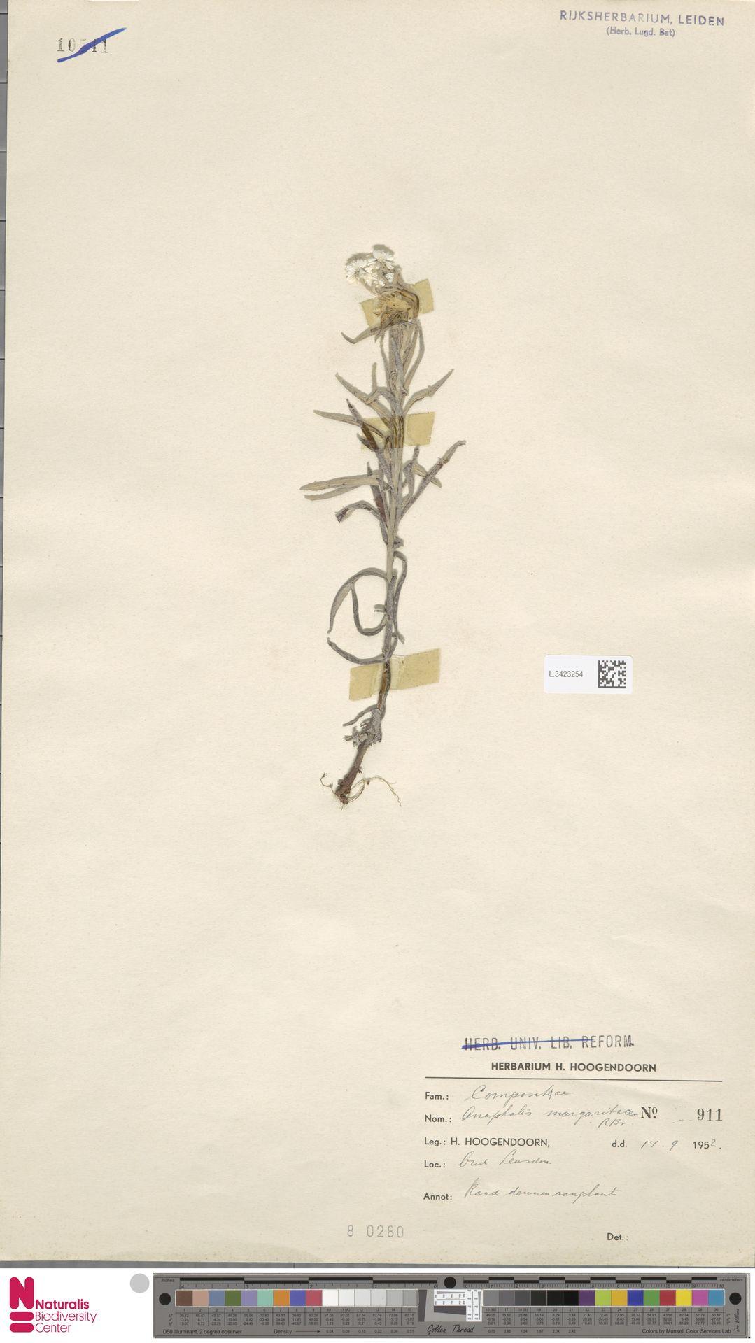 L.3423254 | Anaphalis margaritacea (L.) Benth. & Hook.f.