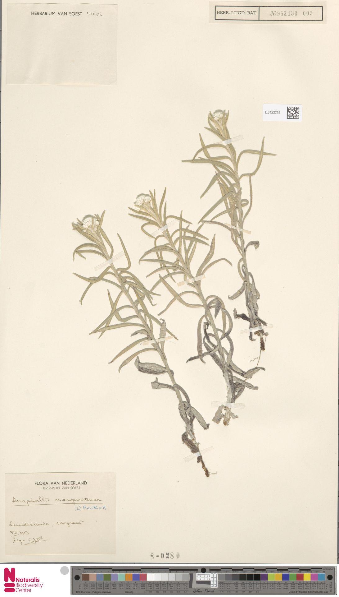 L.3423255 | Anaphalis margaritacea (L.) Benth. & Hook.f.