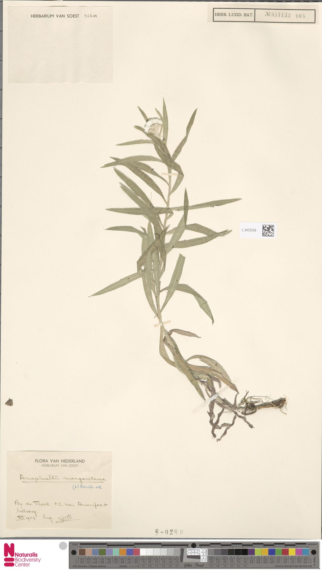 L.3423256 | Anaphalis margaritacea (L.) Benth. & Hook.f.