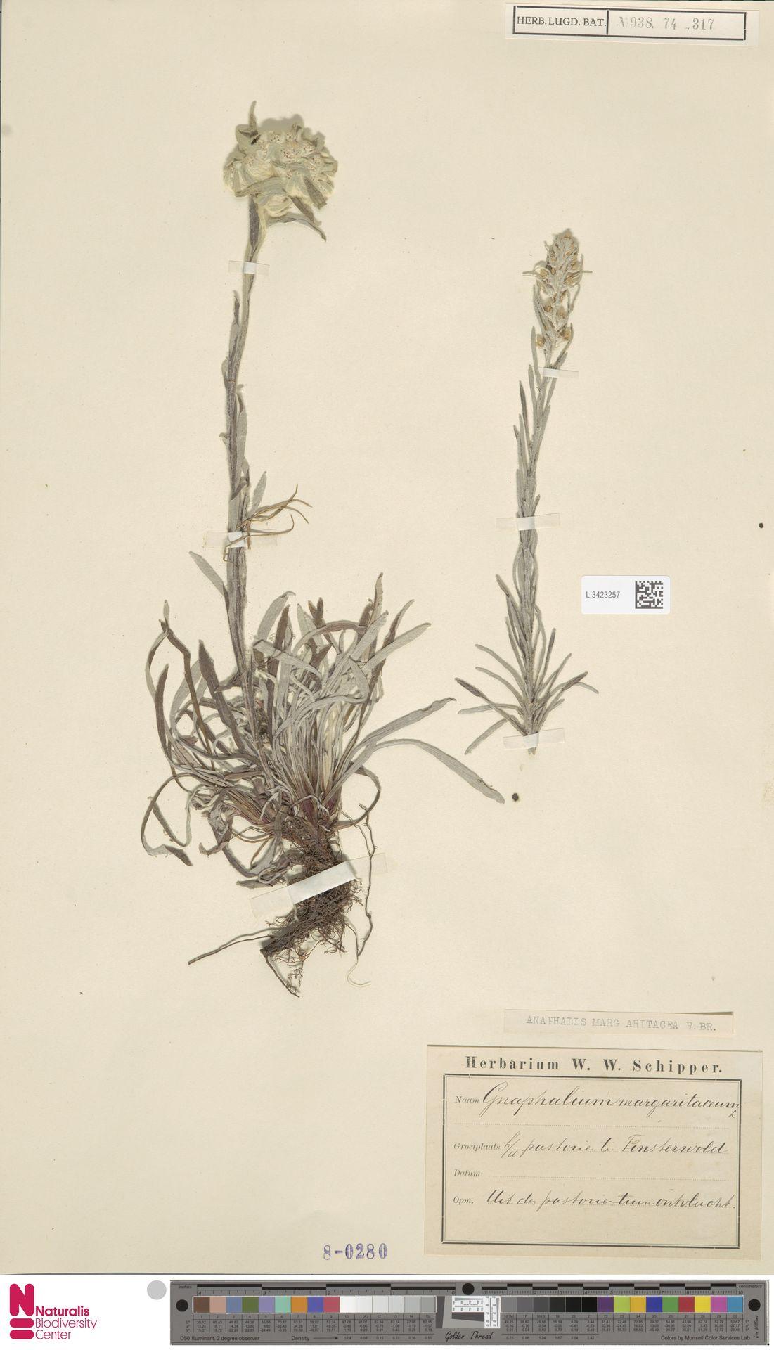 L.3423257 | Anaphalis margaritacea (L.) Benth. & Hook.f.