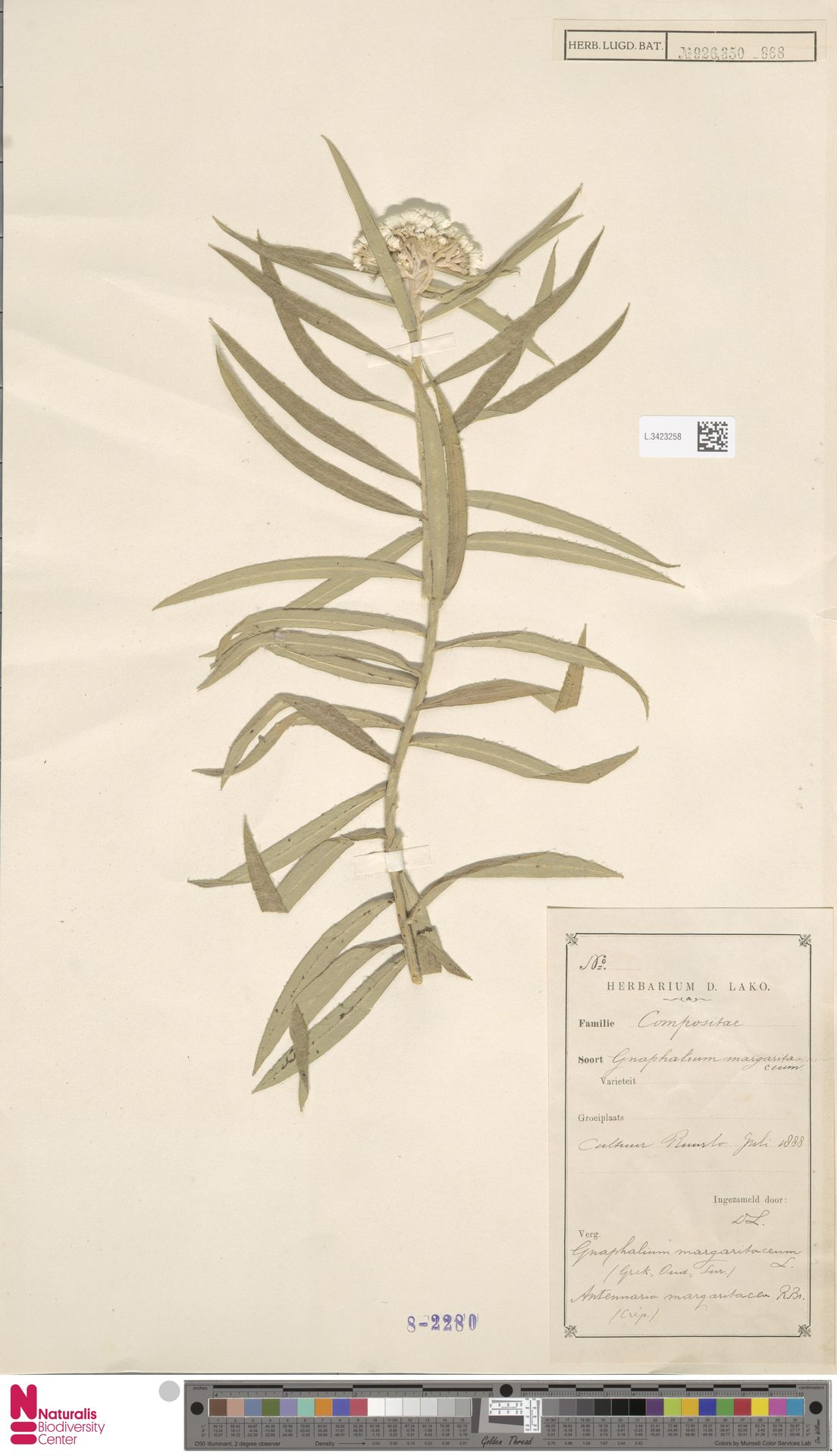 L.3423258 | Anaphalis margaritacea (L.) Benth. & Hook.f.