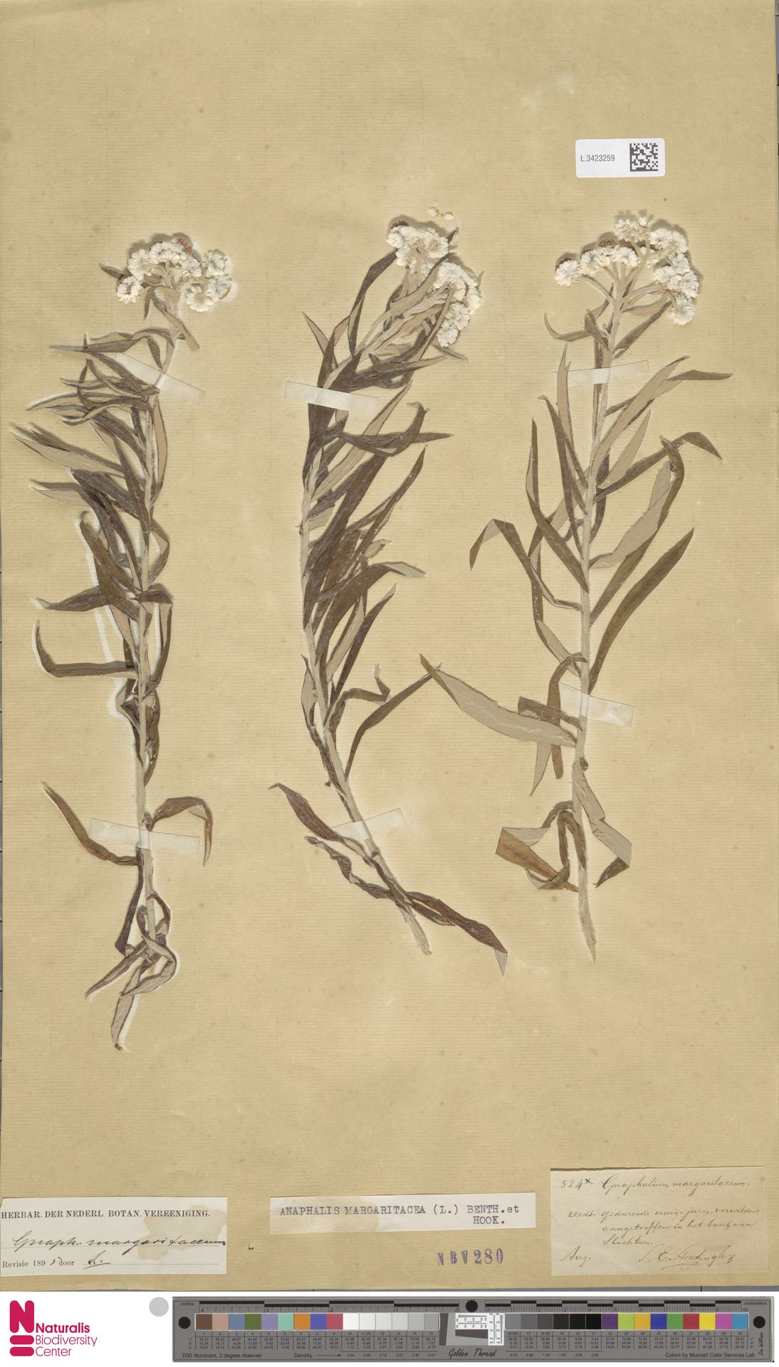 L.3423259 | Anaphalis margaritacea (L.) Benth. & Hook.f.