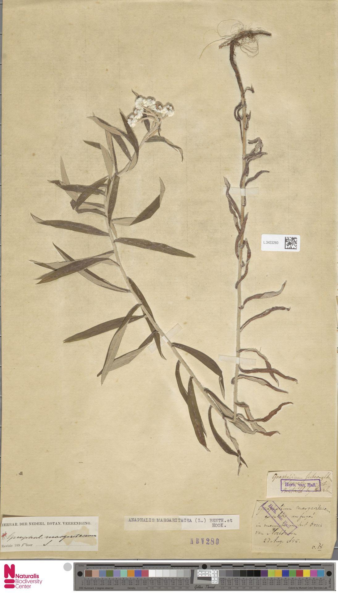 L.3423260 | Anaphalis margaritacea (L.) Benth. & Hook.f.