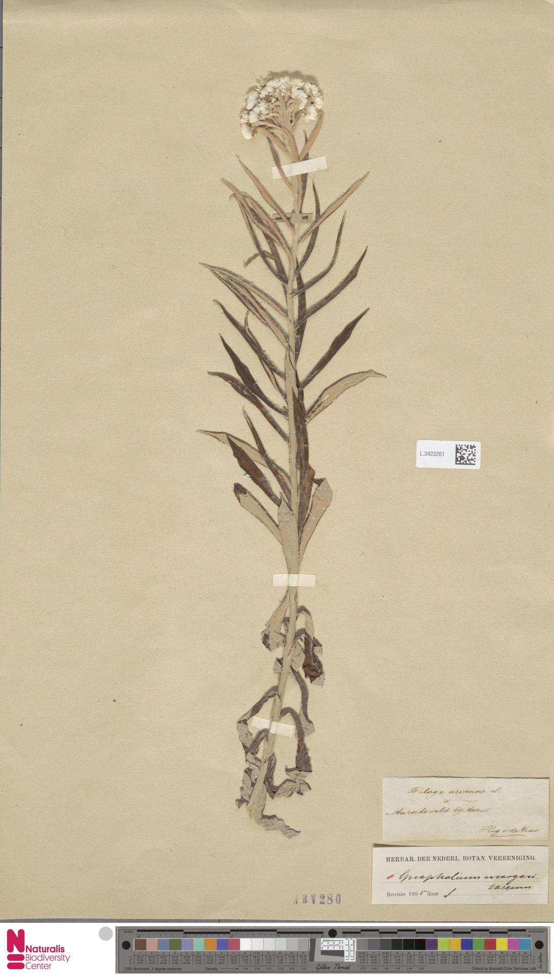 L.3423261 | Anaphalis margaritacea (L.) Benth. & Hook.f.