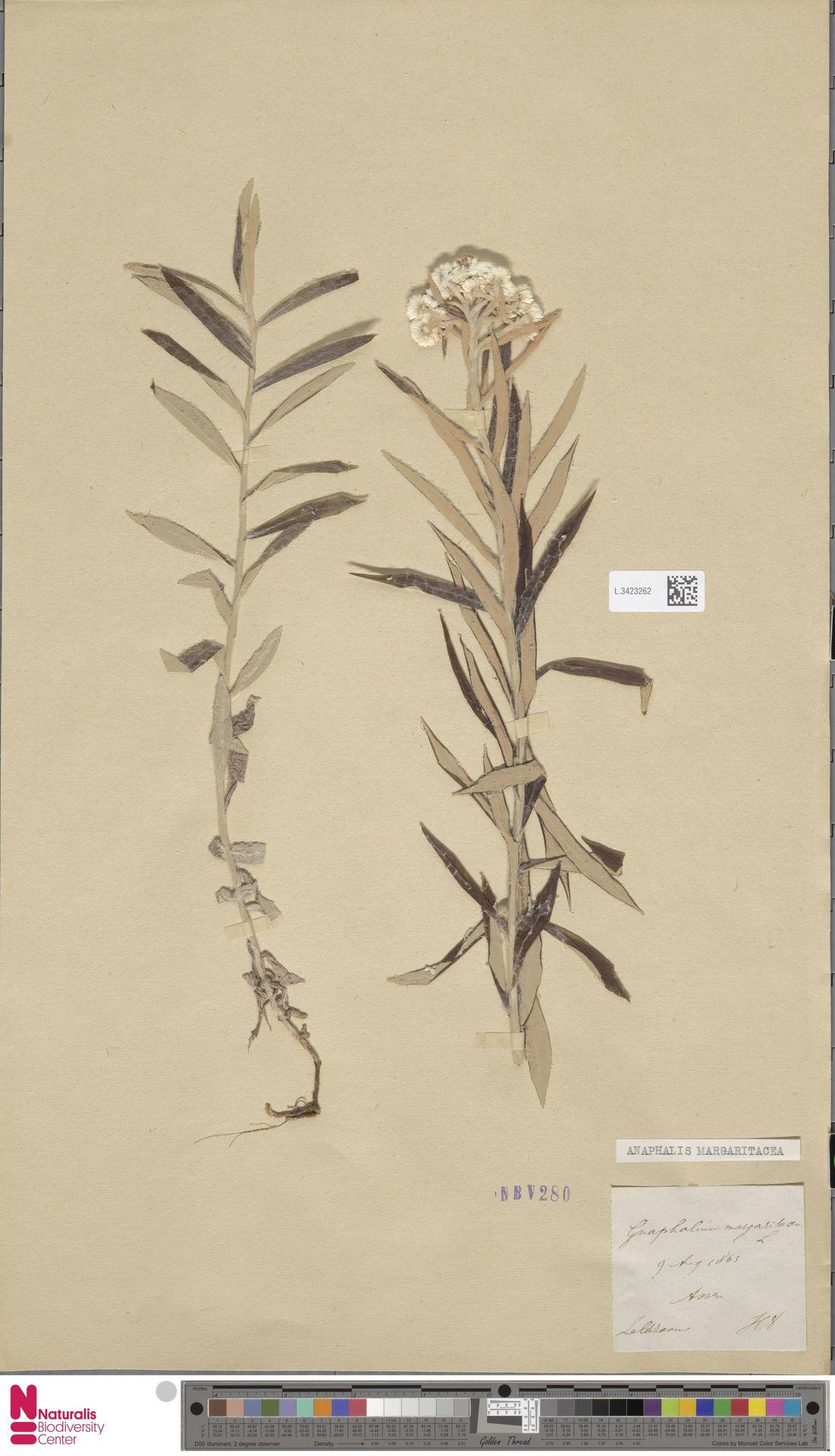 L.3423262 | Anaphalis margaritacea (L.) Benth. & Hook.f.