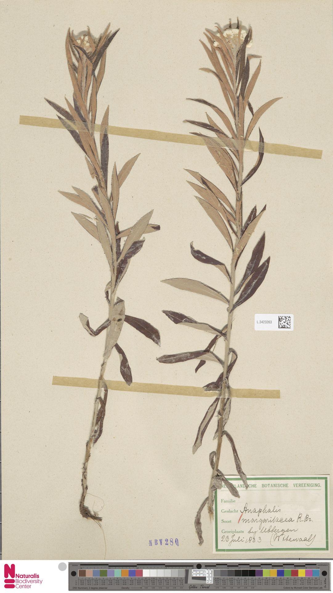 L.3423263   Anaphalis margaritacea (L.) Benth. & Hook.f.
