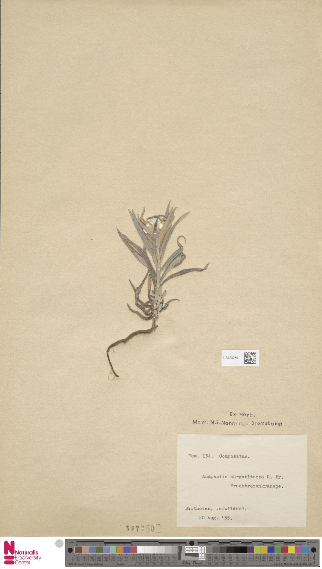 L.3423265 | Anaphalis margaritacea (L.) Benth. & Hook.f.
