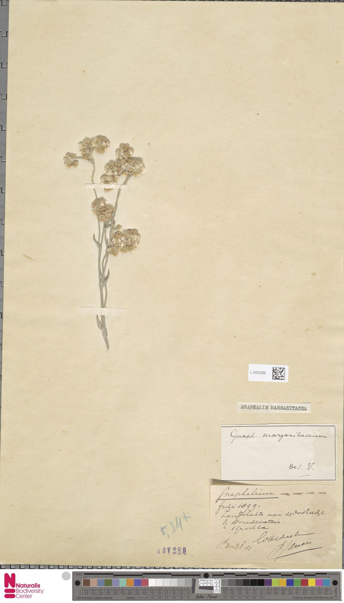 L.3423266 | Anaphalis margaritacea (L.) Benth. & Hook.f.