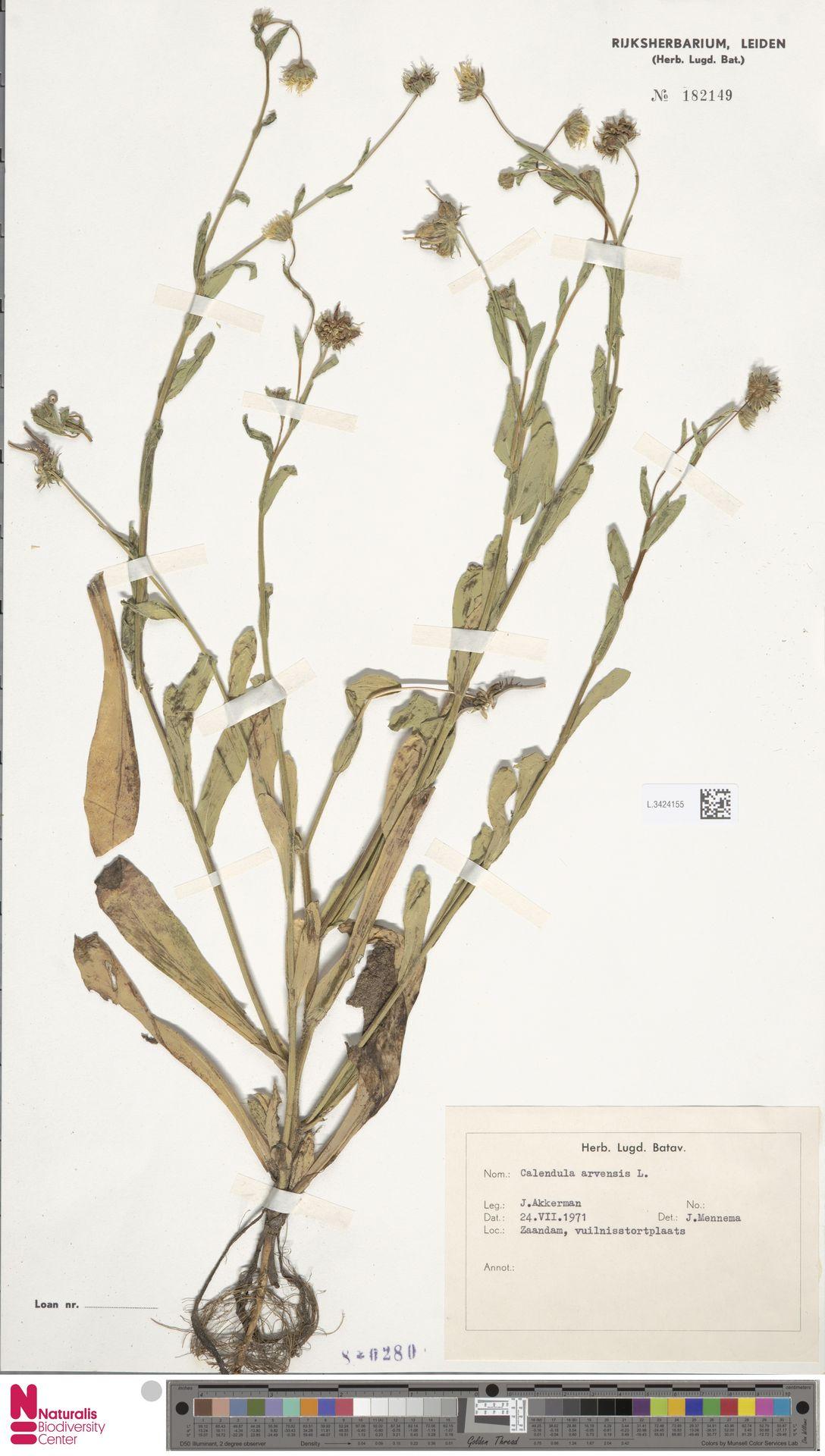 L.3424155 | Calendula arvensis (Vaill.) L.