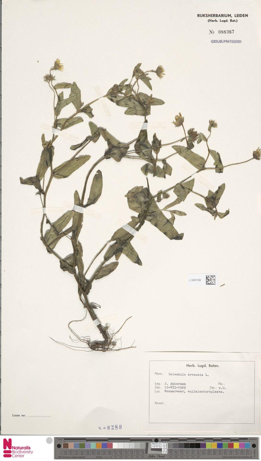 L.3424156 | Calendula arvensis (Vaill.) L.