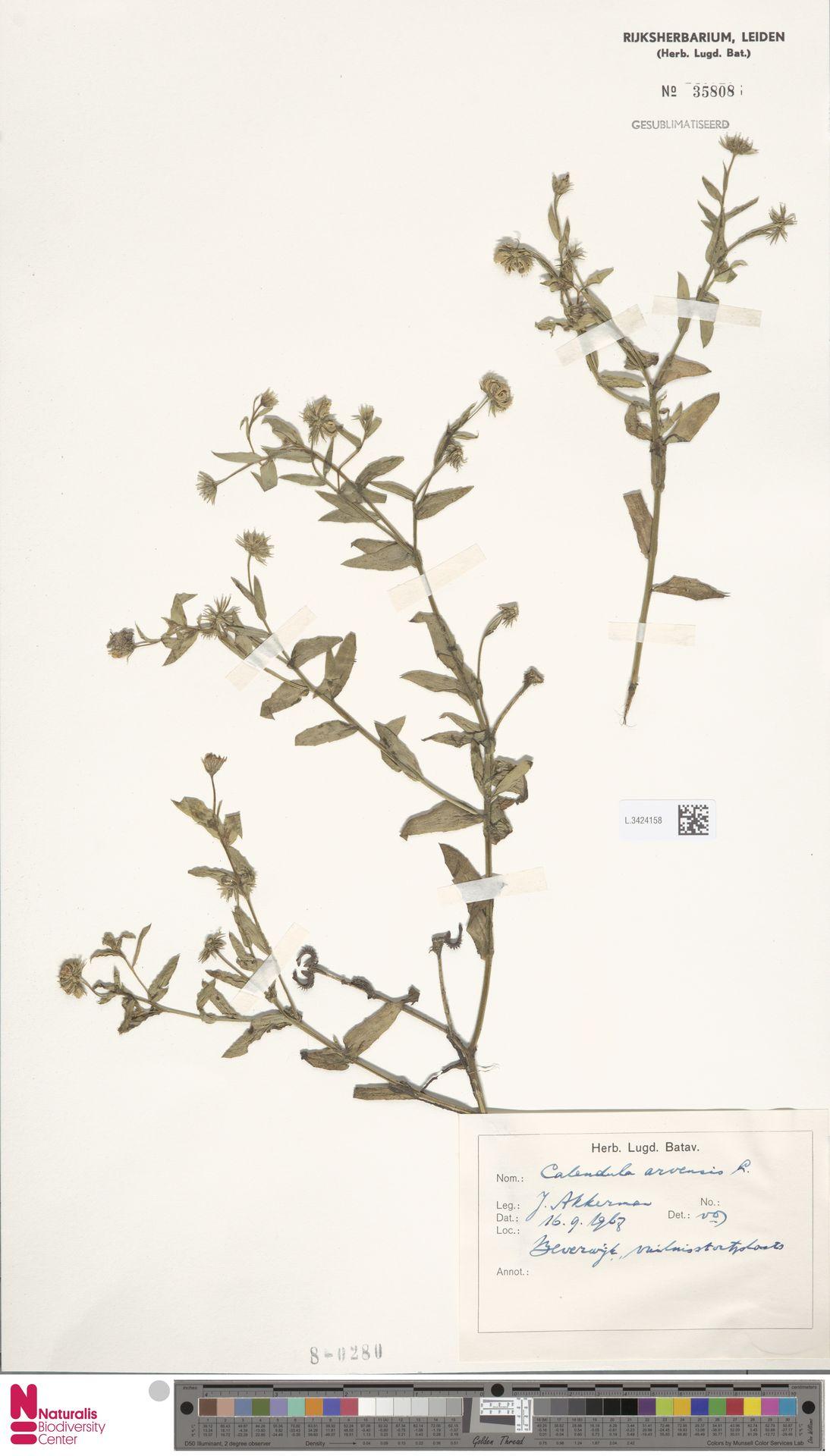 L.3424158 | Calendula arvensis (Vaill.) L.