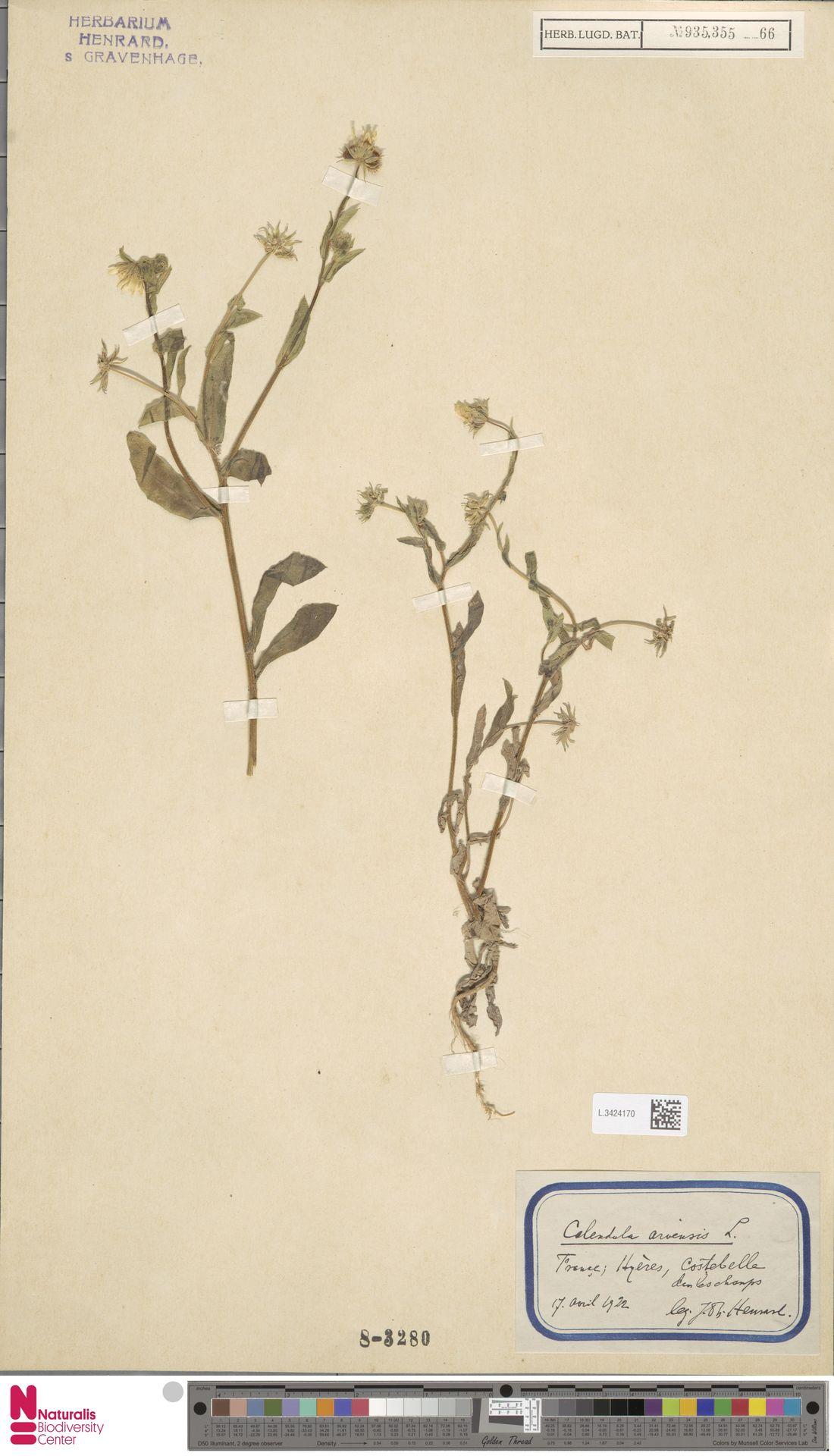 L.3424170 | Calendula arvensis (Vaill.) L.