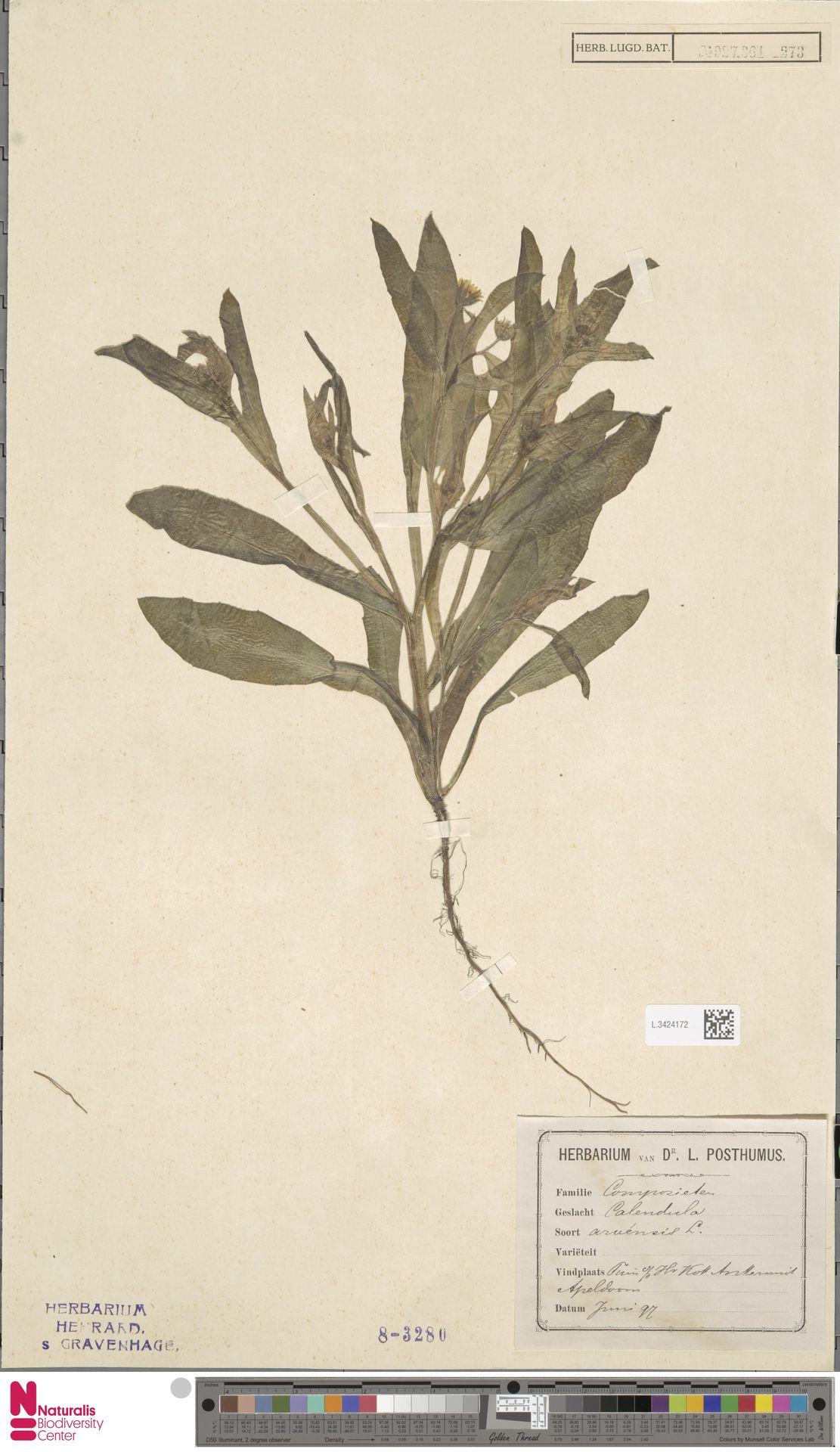 L.3424172 | Calendula arvensis (Vaill.) L.