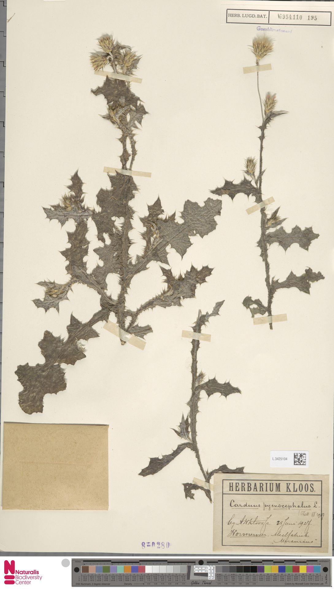 L.3425104 | Carduus pycnocephalus L.