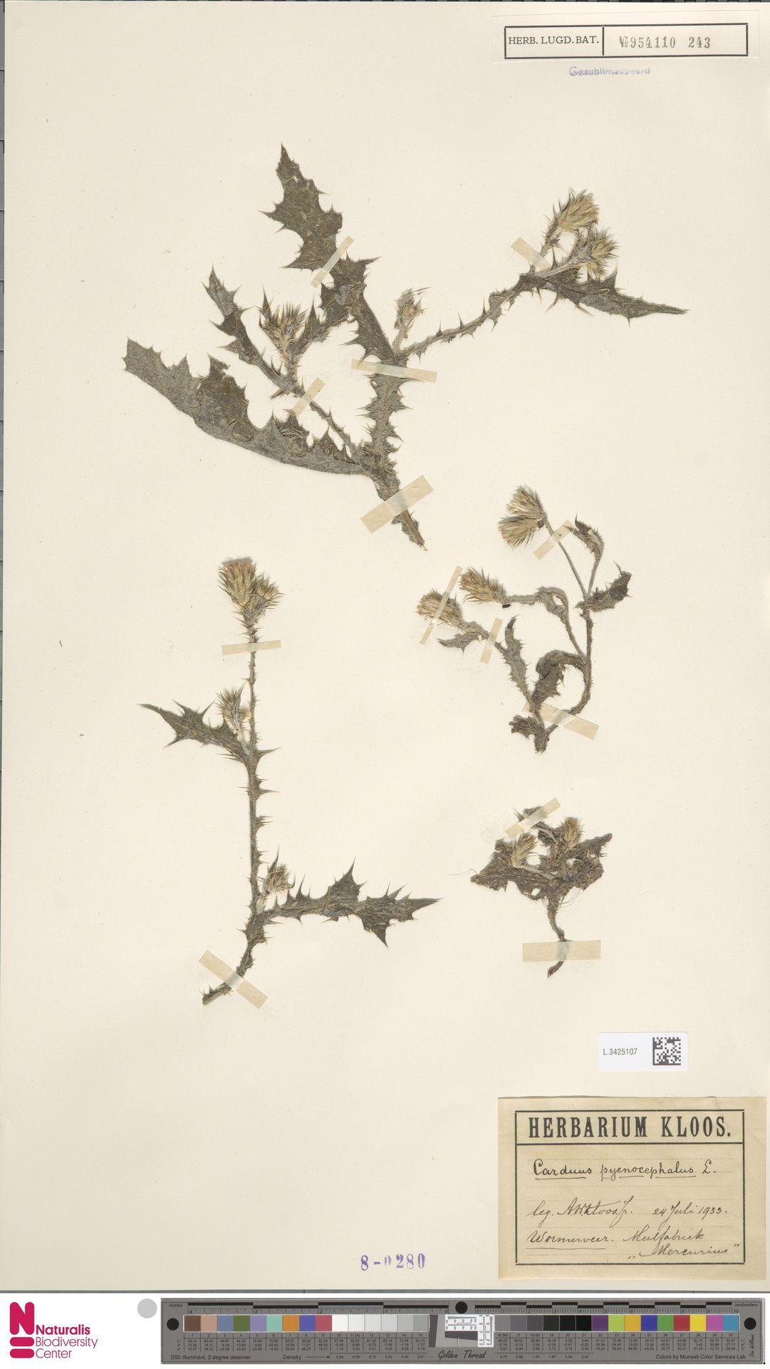 L.3425107 | Carduus pycnocephalus L.