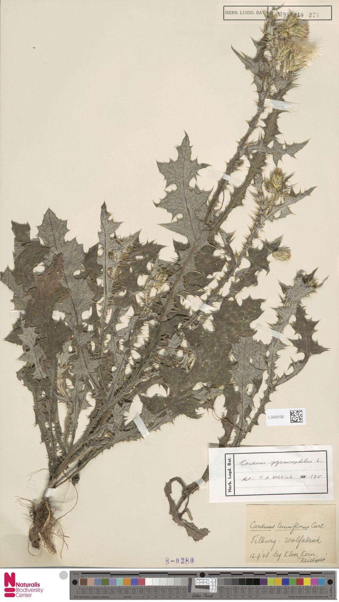L.3425108 | Carduus pycnocephalus L.