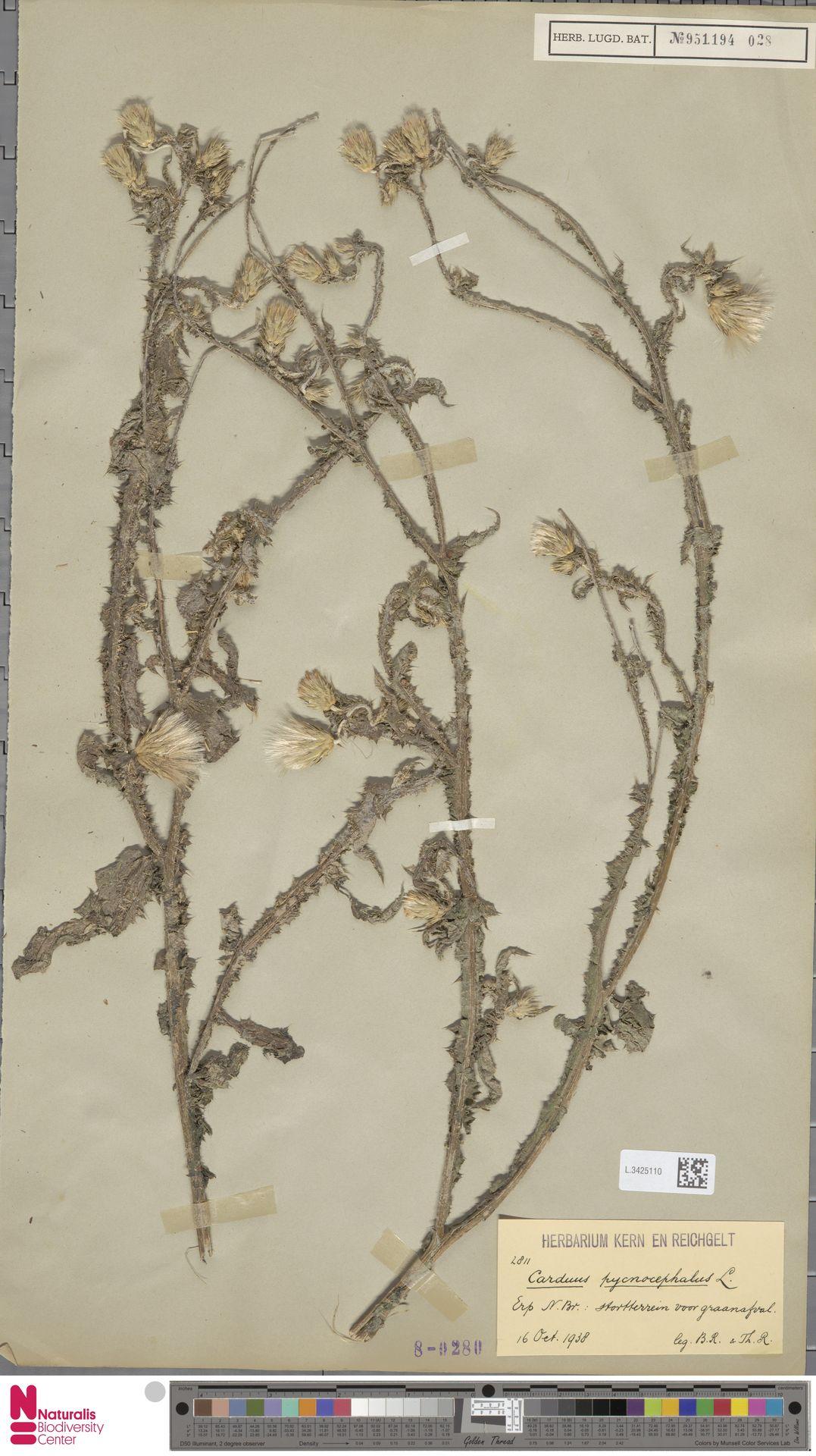 L.3425110 | Carduus pycnocephalus L.