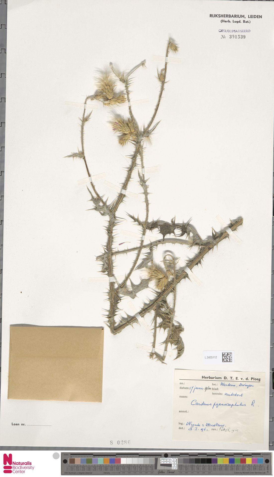 L.3425112 | Carduus pycnocephalus L.